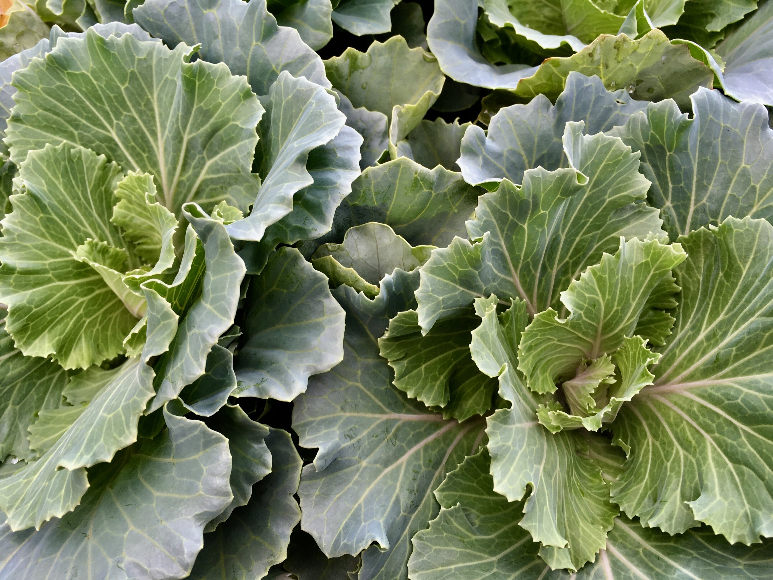 floweringcabbage.jpg