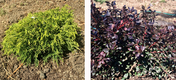 Golden Mop Threadbranch Cypress and Crimson Ruby Japanese Barberry.