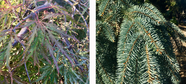 Inaba Shidare Maple and The Blues Colorado Spruce