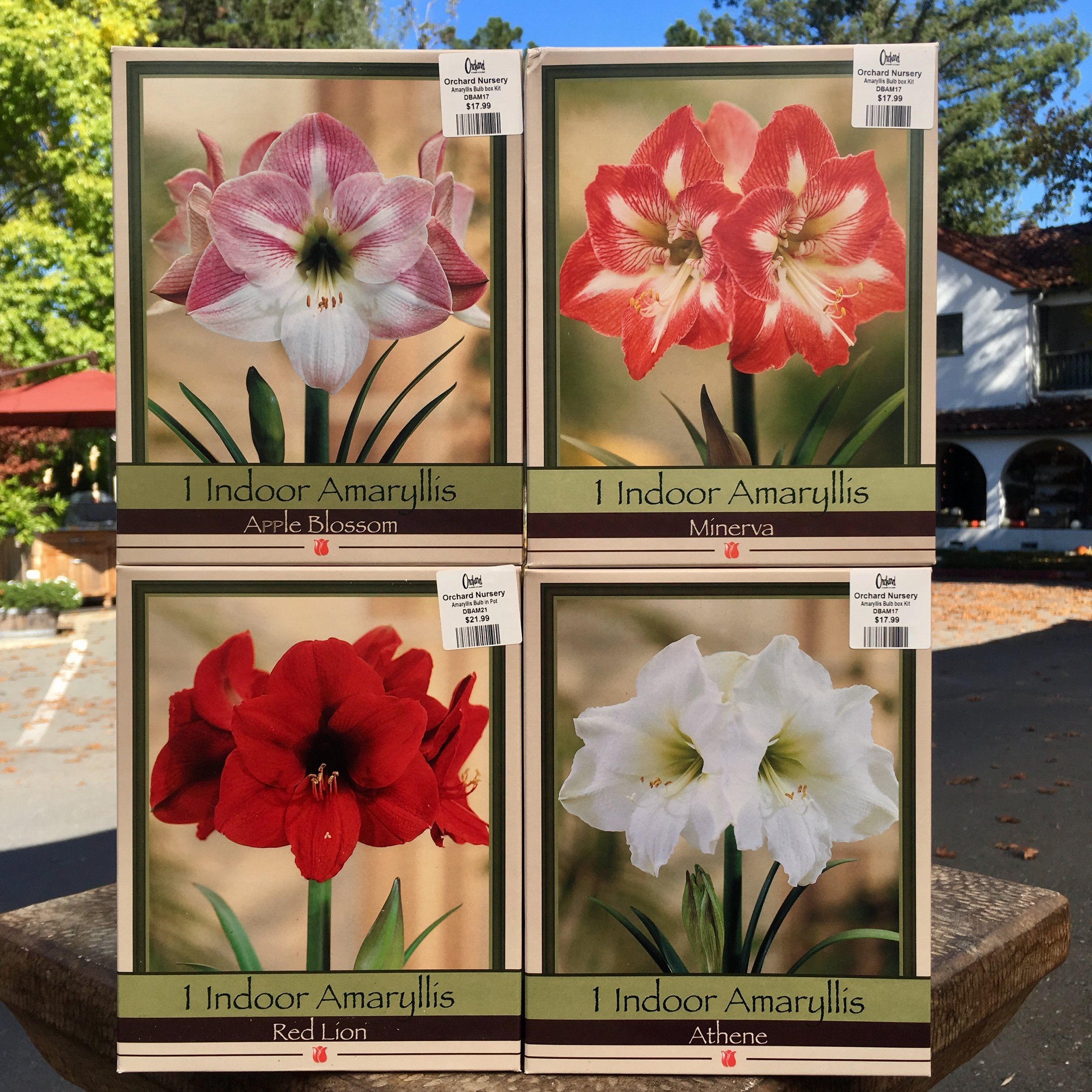 These amaryllis kits make the perfect gift!