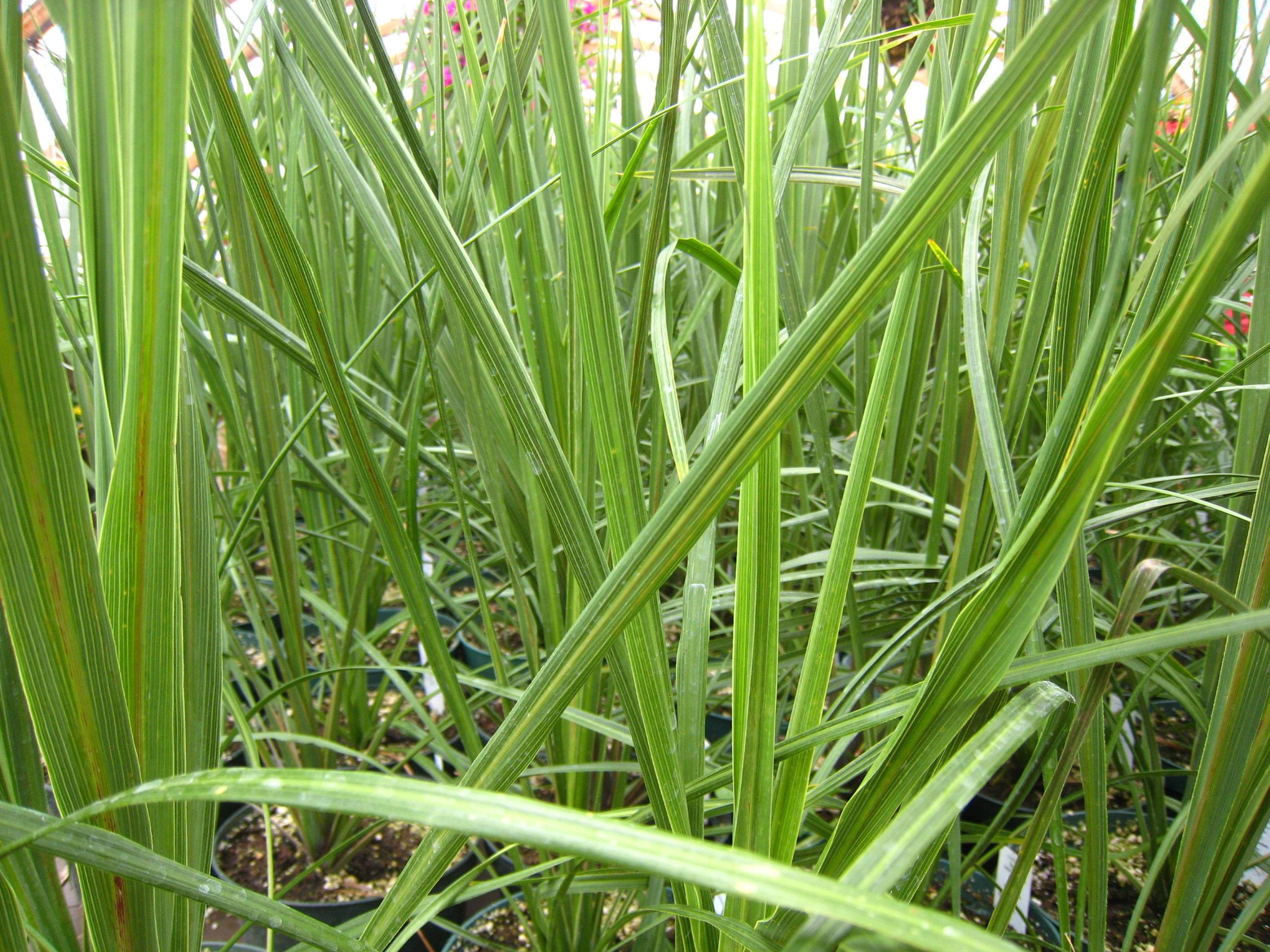 lemongrass.jpeg