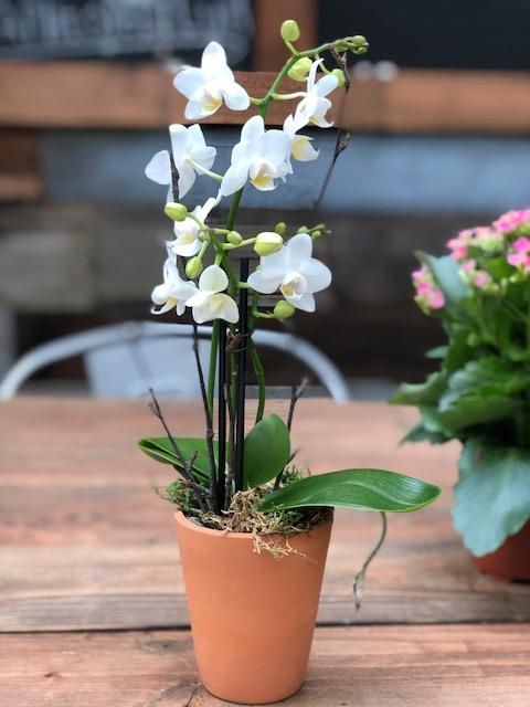 mini white orchid.jpg