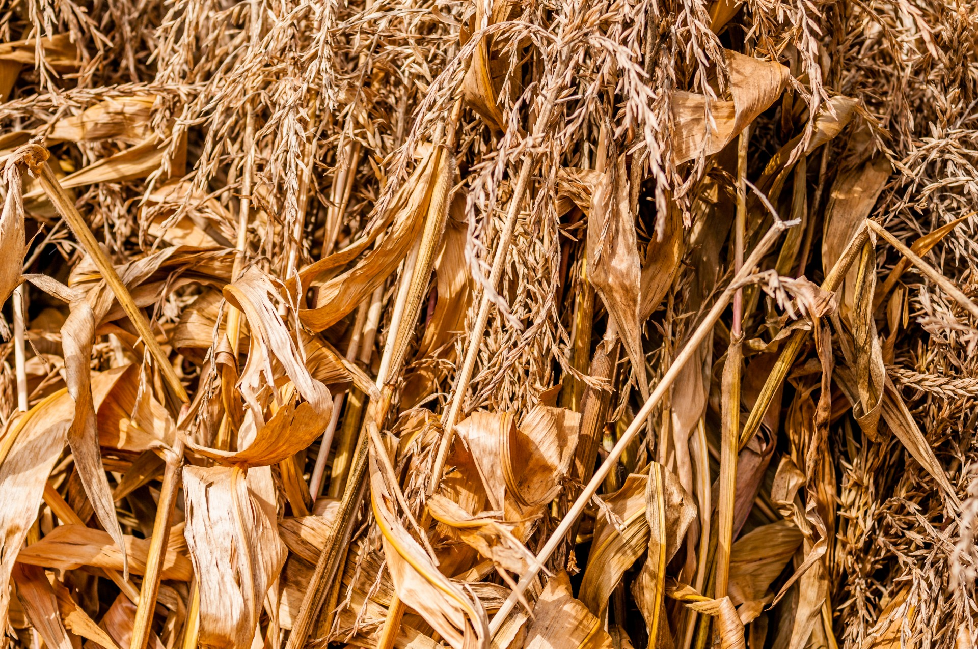 Picturesque corn stalks - save them for fall decorating!