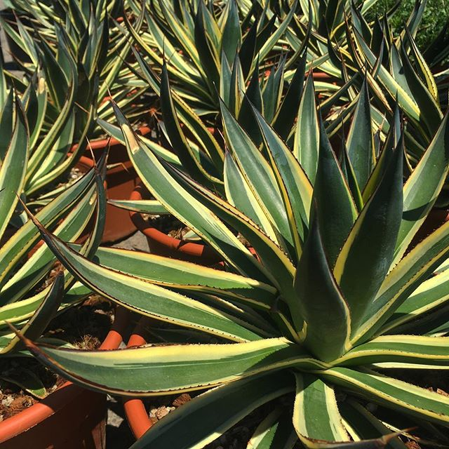 'Blue Glow' Variegated Agave