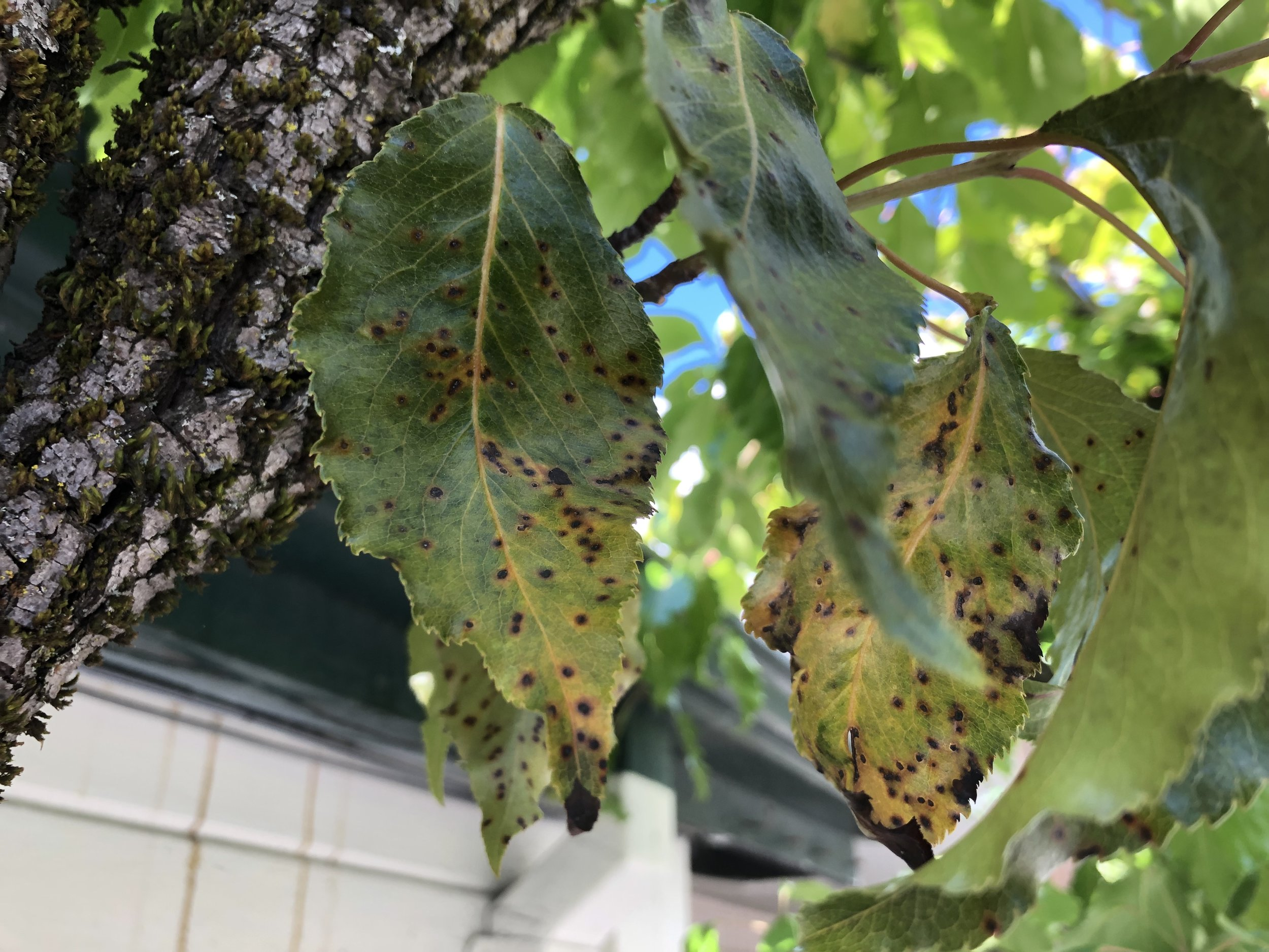 Leaf spots on our espalier ornamental pear tree outside the Garden Shop