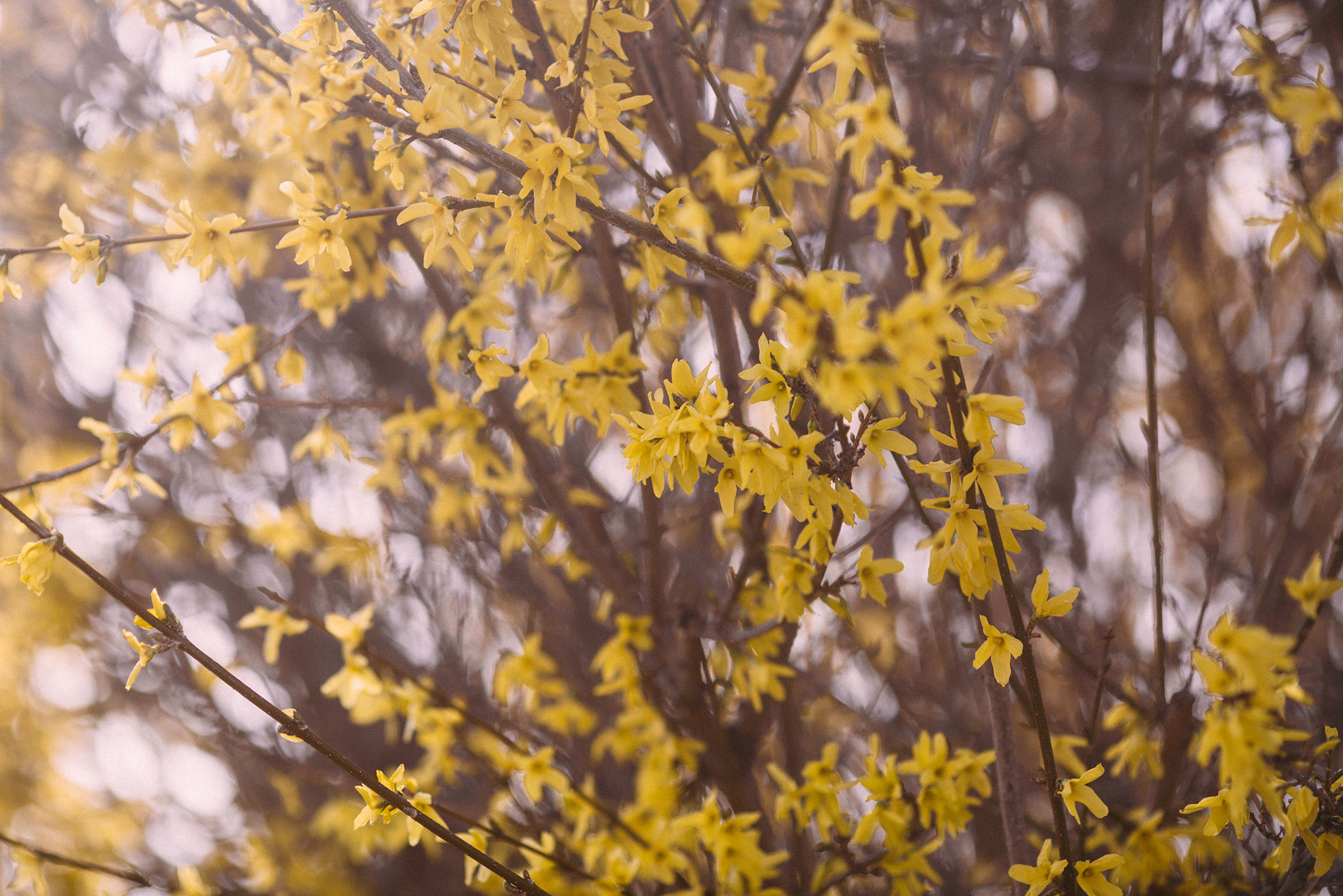 April 11: A colleague told me to pay attention to the way spring rolls out slowly and colorfully, that there'd be blooms on top of blooms. In the days and weeks that followed these initial yellow offerings I realized one could not not notice. Every day is newly stunning. It's incredible.