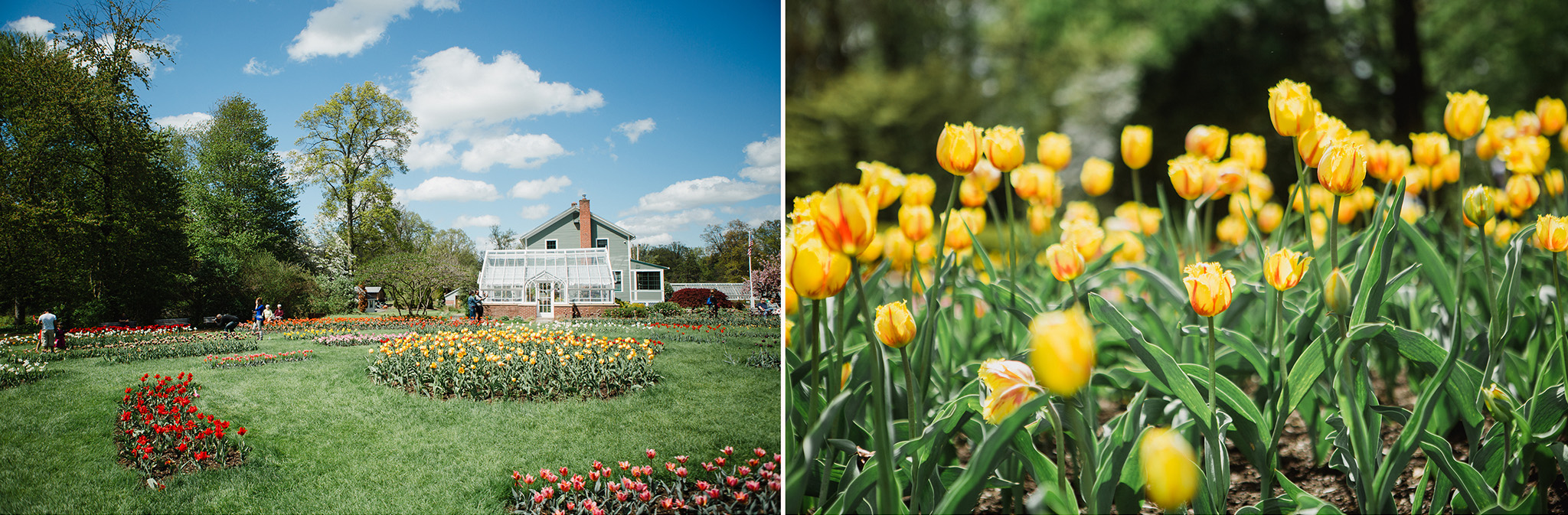 May 6: Let's talk about Connecticut tulips.