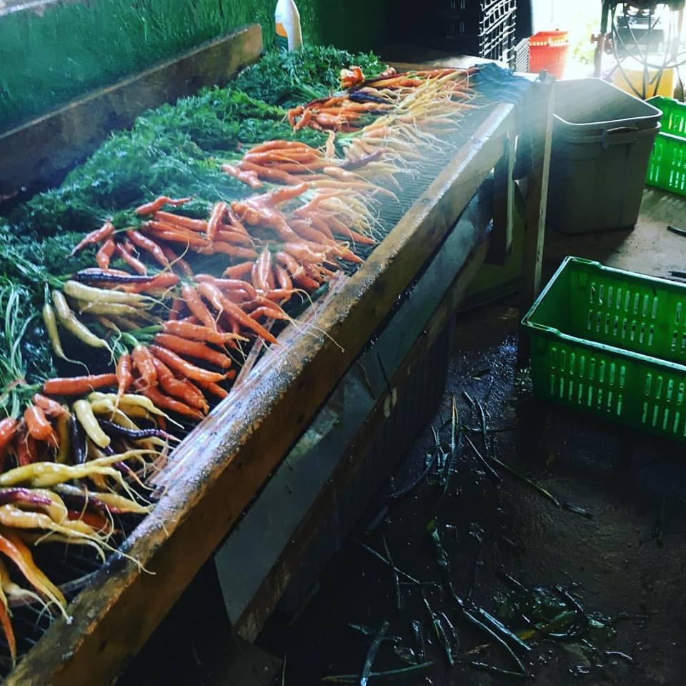 spraying carrots.jpg