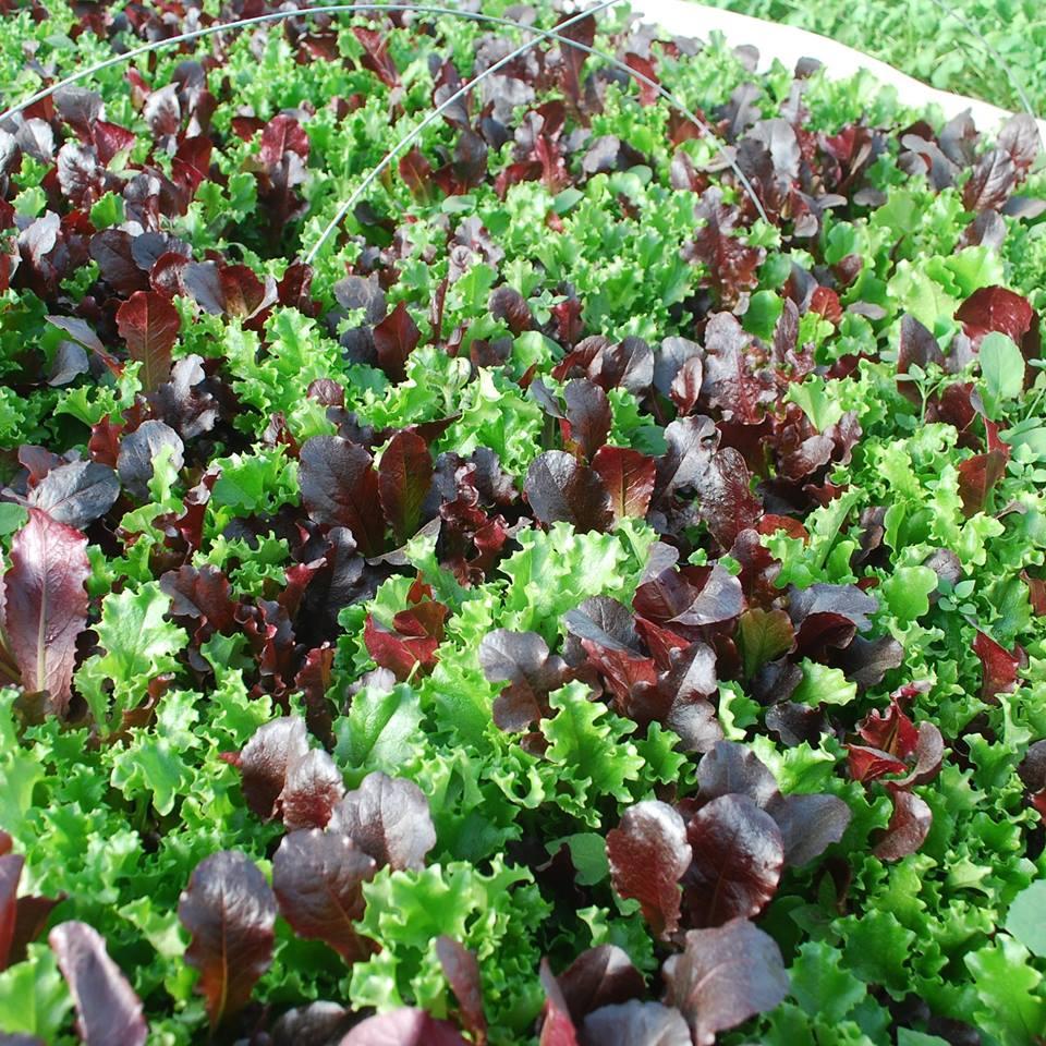 beautiful lettuce.jpg