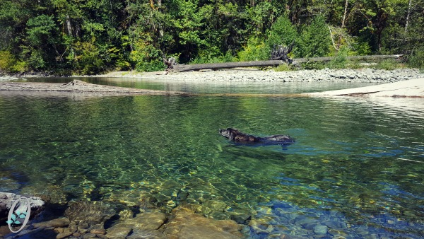 sol-duc-river-dog-swim.jpg
