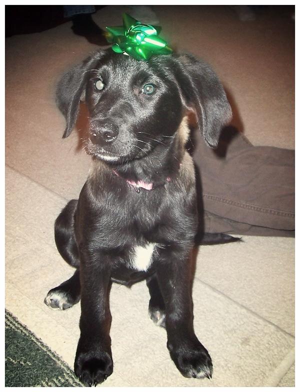 black-border-collie-lab-puppy