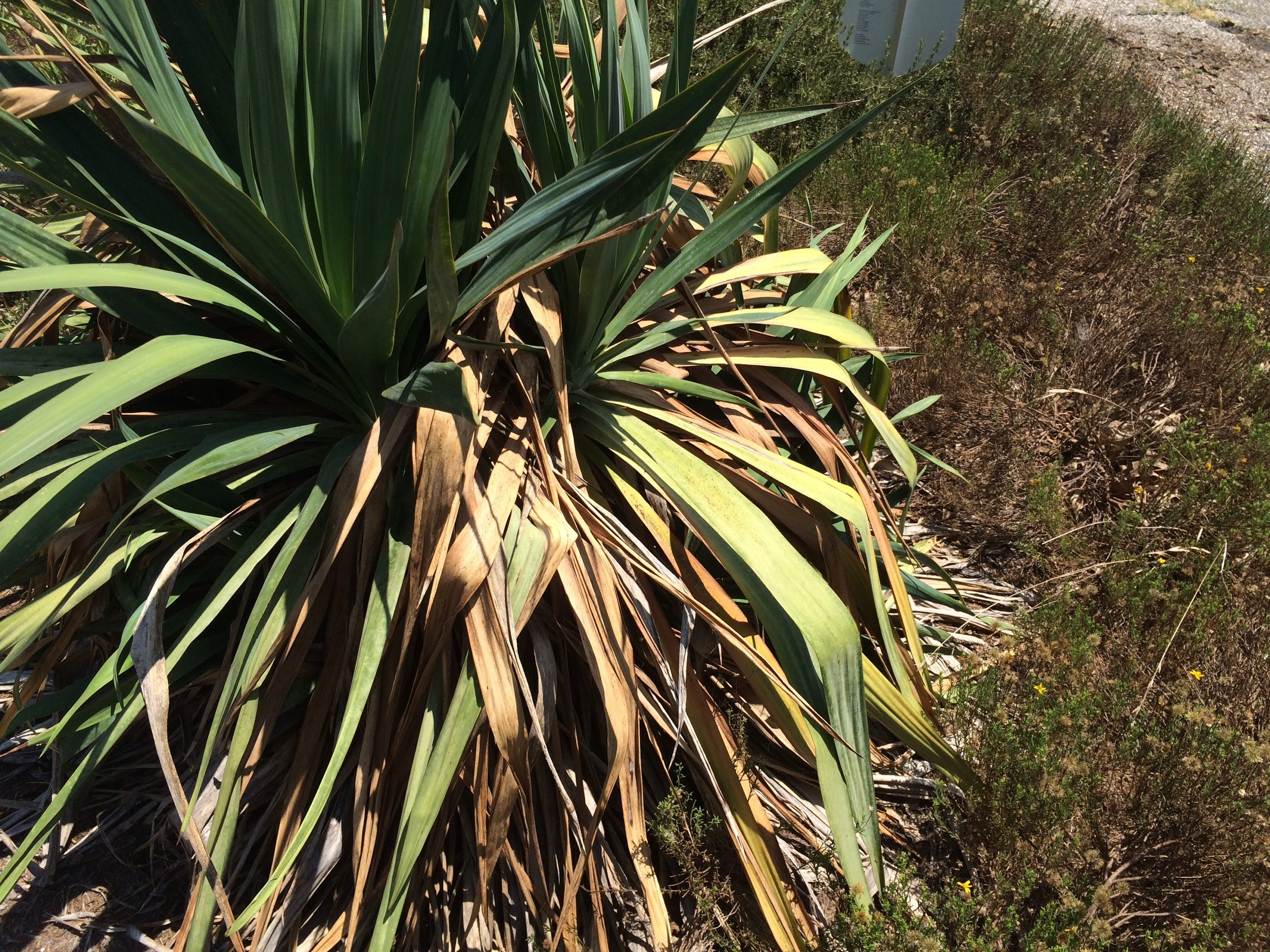 This is a 'before' photo of a softleaf yucca-   Yucca   recurvifolia-   prior to pruning.