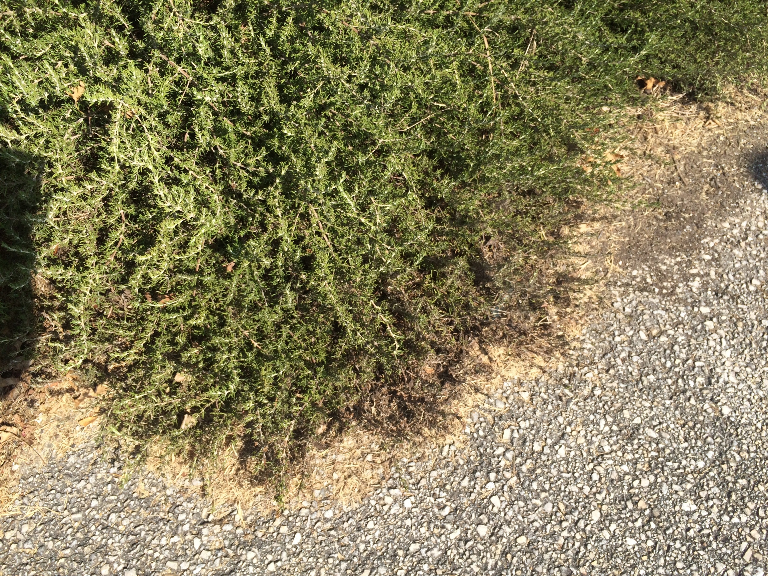 """""""Before"""" photo of a trailing rosemary growing along the street. We pruned it to remove some dead branches and to control its size because it was growing too far out into the street. See how the dead leaves are hanging out over the pavement?"""
