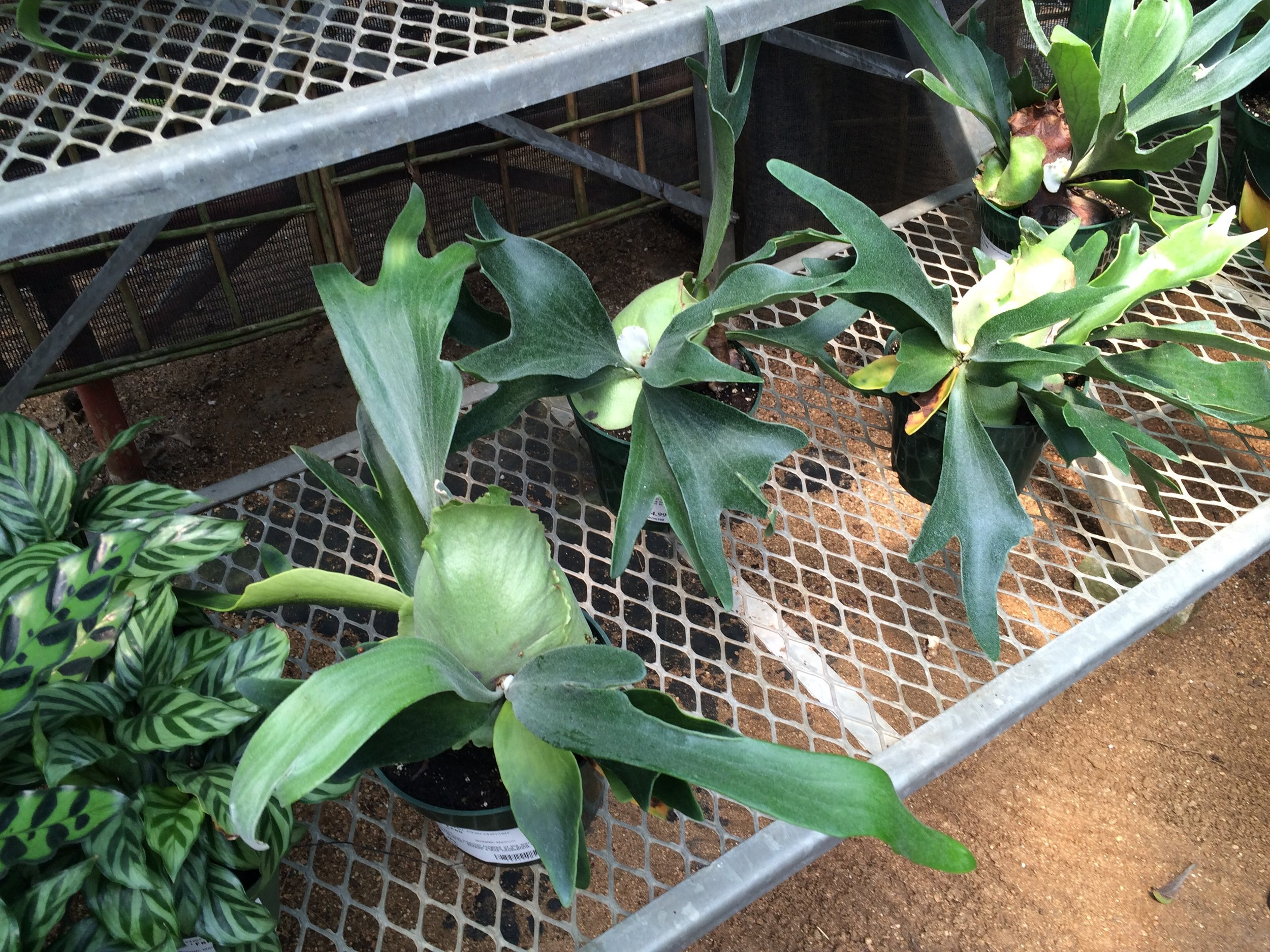 Little staghorn ferns looking for a home