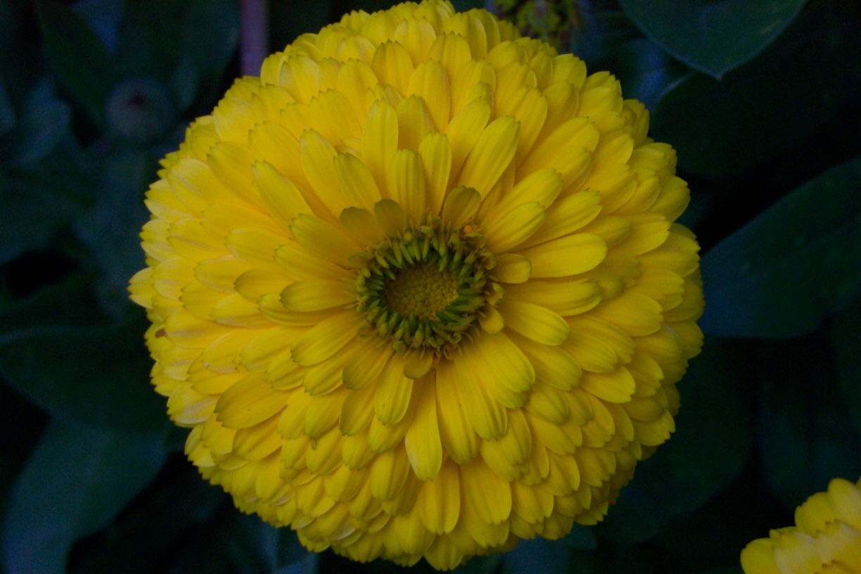 Calendula's cheery disposition brightens my Austin garden every fall, winter and sprinf.