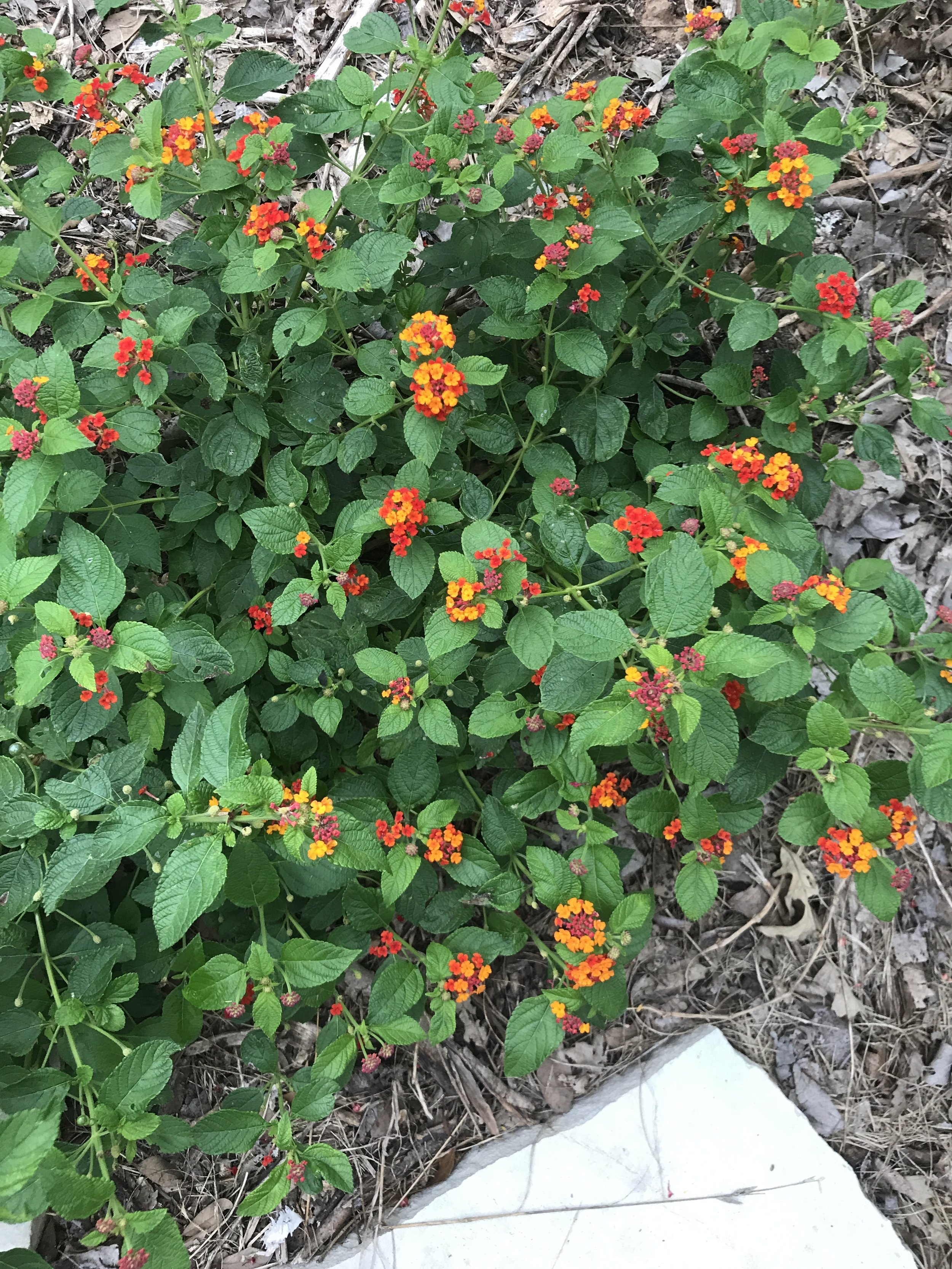 Lantana 'Dallas Red'. I had three planted but only one grew back after the short severe cold snap we had this winter. Lantana provides nectar as a food source for butterflies, and the shape of the flower makes it easy for them to sit while they drink.