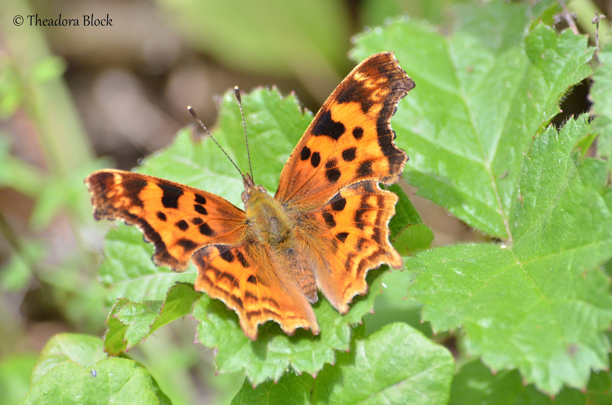 Satyr Anglewing Butterfly, big sur