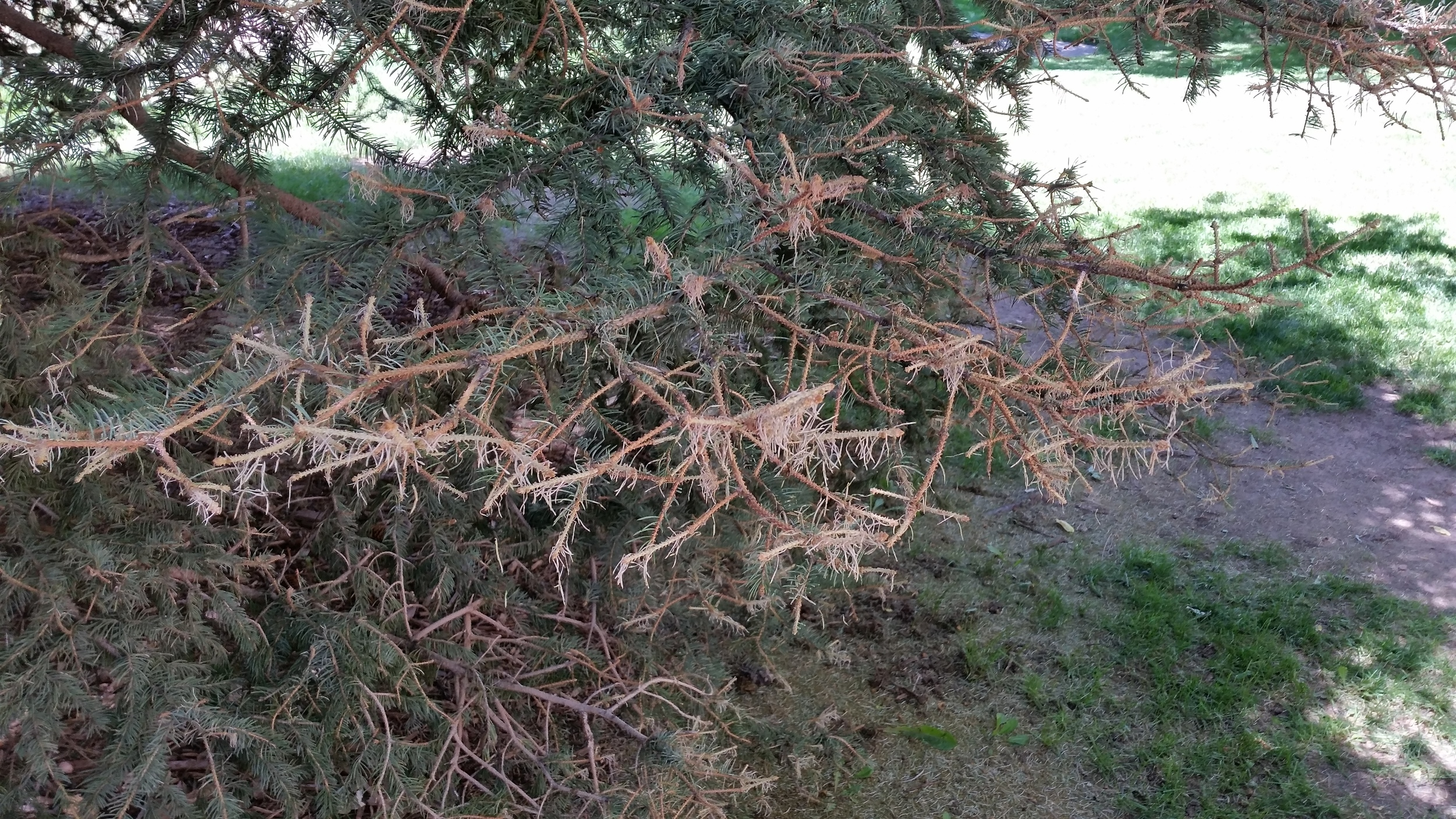 A branch that has been entirely defoliated by the DFTM caterpillars