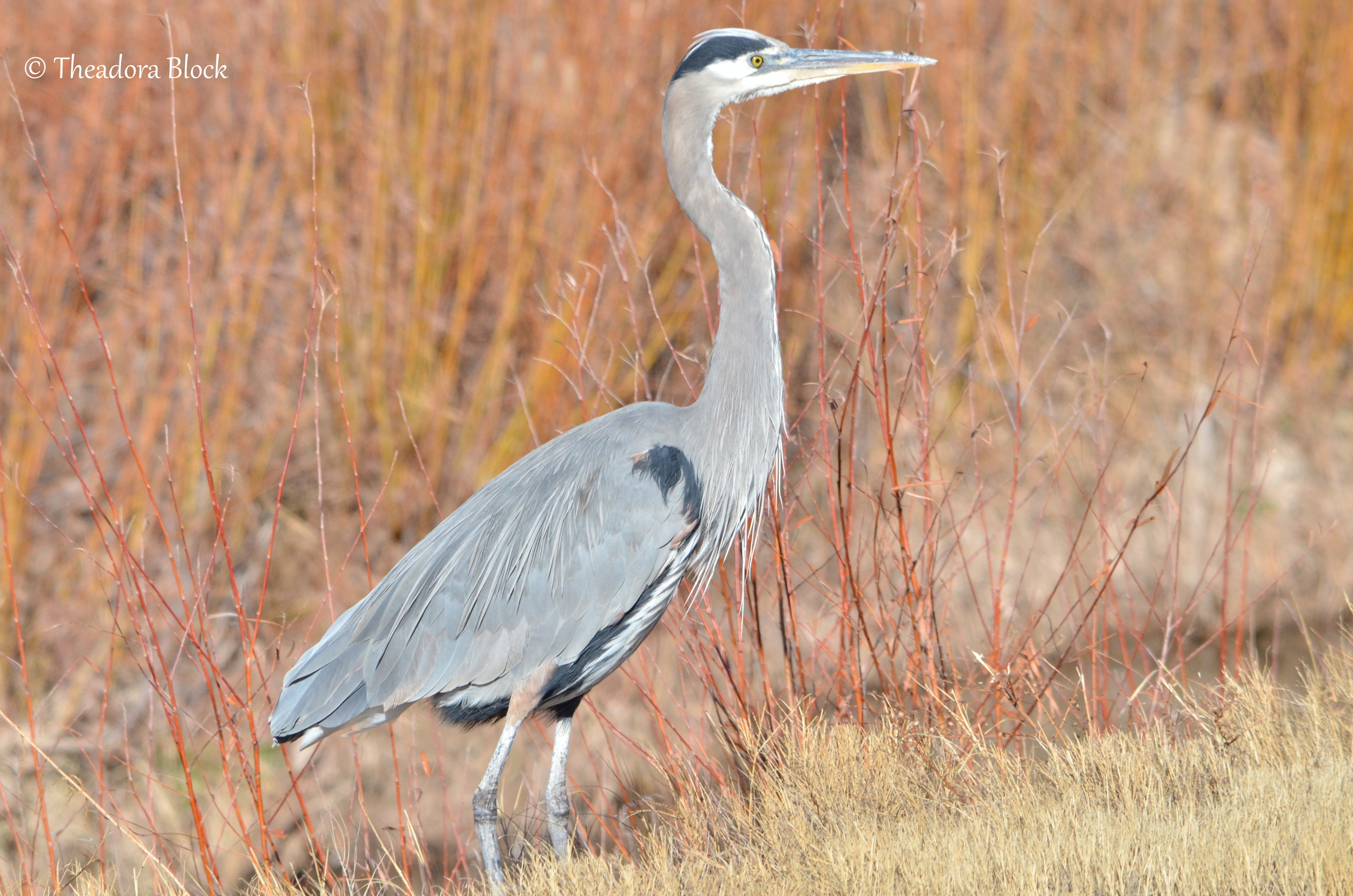 great-blue-heron_26110382902_o.jpg