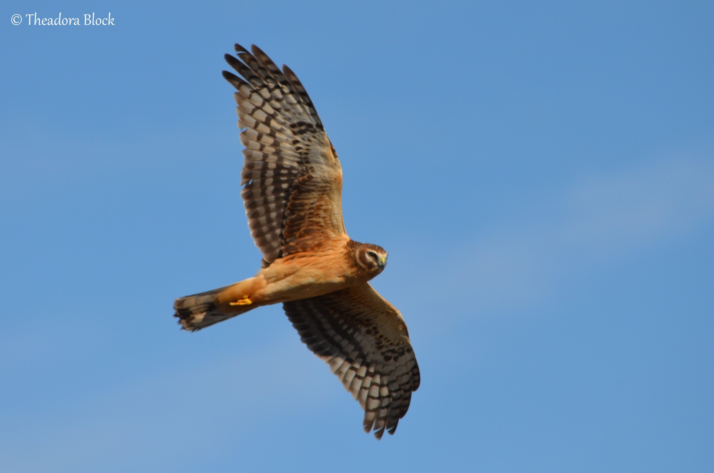 northern-harrier_25600207433_o.jpg