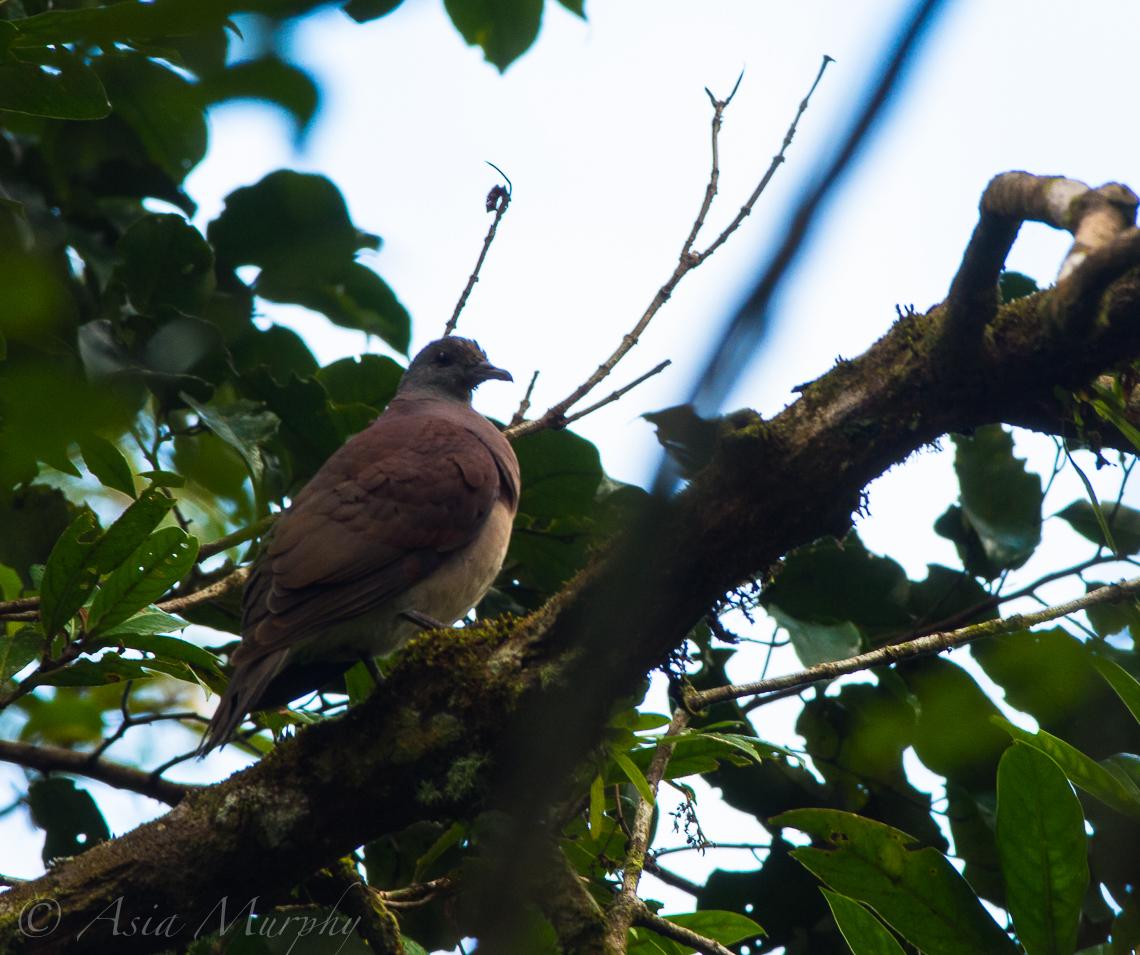 Madagascar Turtle-dove (Nesoenas picturata)