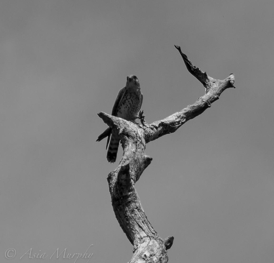 Malagasy Kestrel (Falco Newtoni)