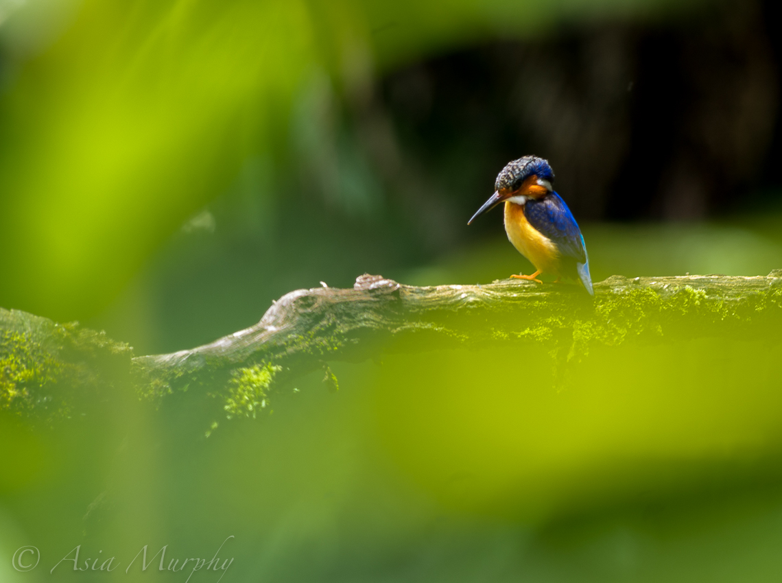 Malagasy Kingfisher (Corythornis vintsioides)