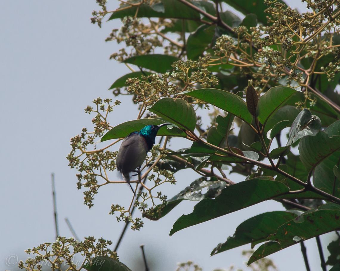 Souimanga Sunbird (Cinnyris sovimanga)