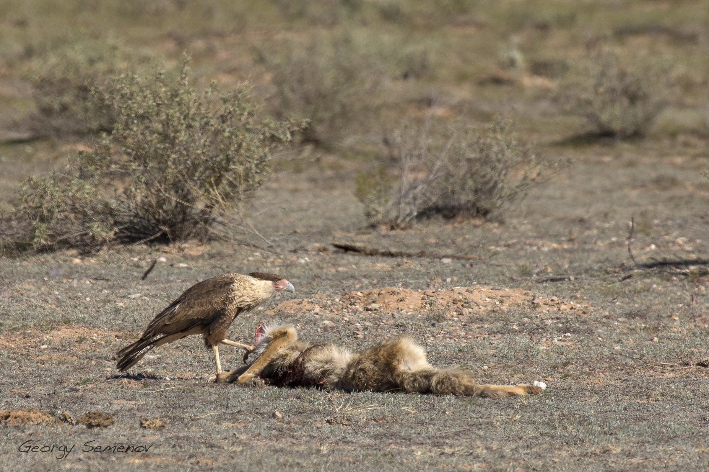 crested-caracara-feeds-on-coyote-carcass_25744944345_o.jpg