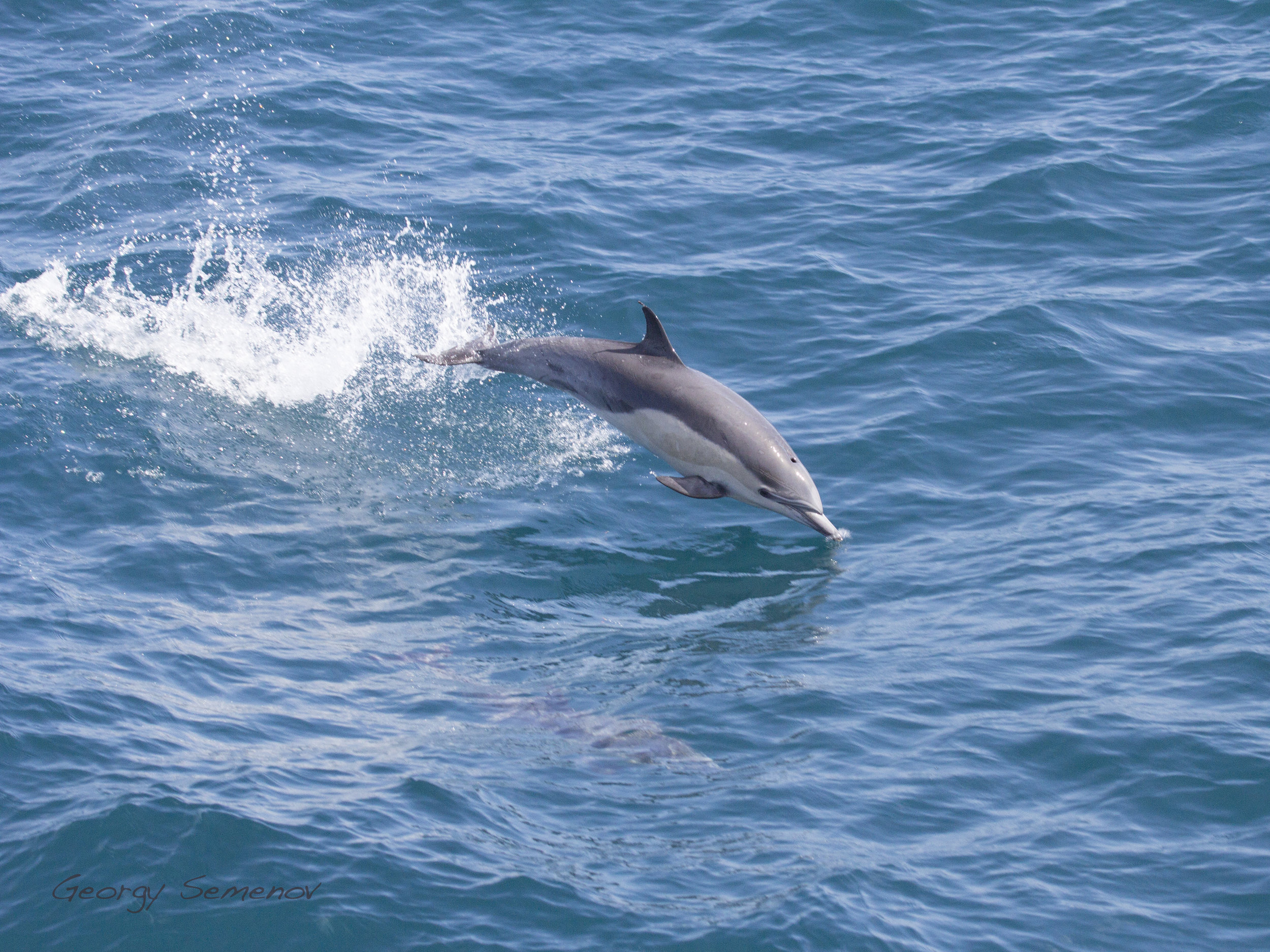 common-dolphin_26110340502_o.jpg