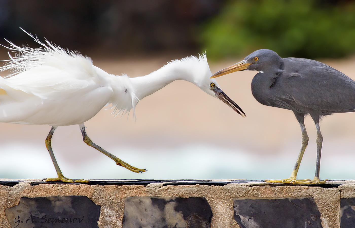 mating-display-of-pacific-reef-heron_24659566894_o.jpg