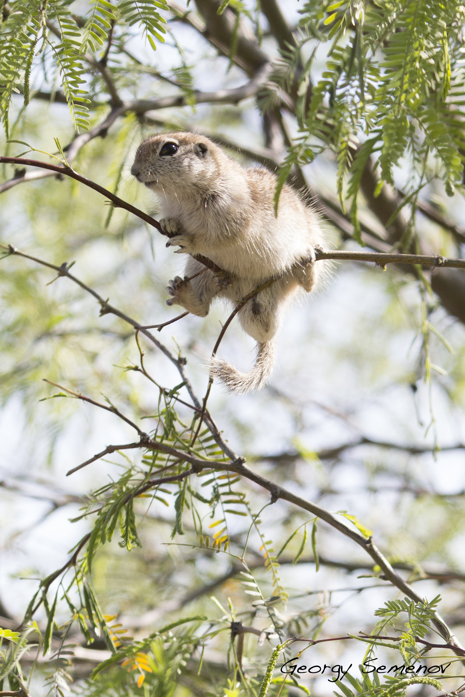 roung-tailed-ground-squirrel_25444190710_o.jpg