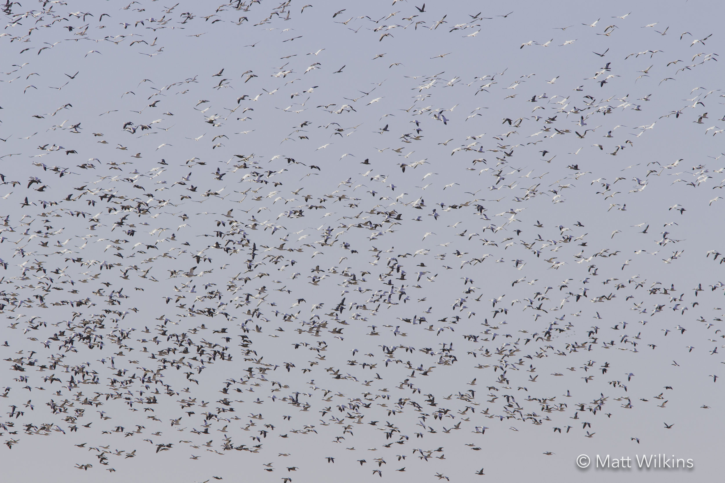 huge-flock-of-snow-geese-chen-caerulescens-migrating-south_25005885806_o.jpg