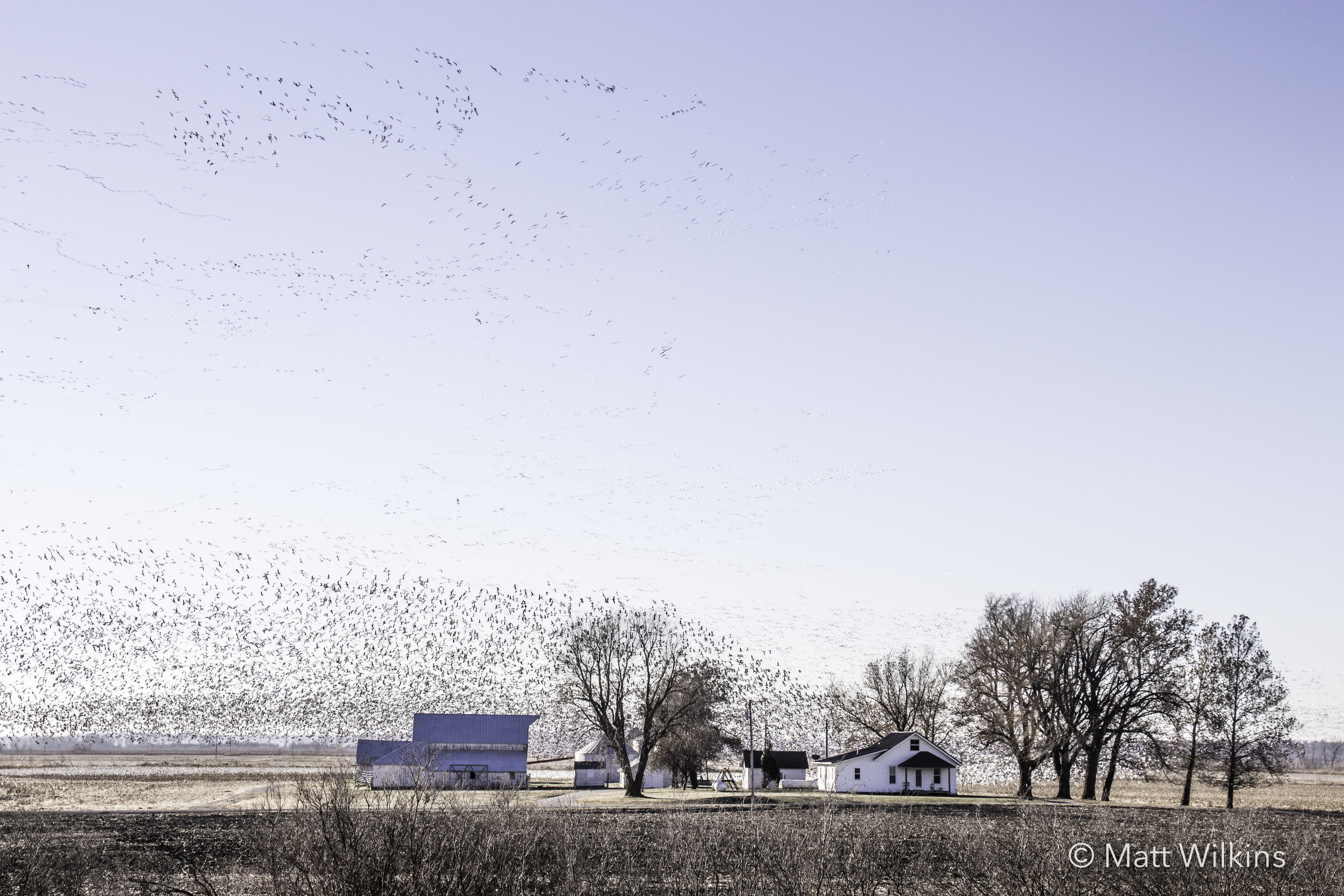snow-geese-stopping-over-at-a-nebraska-farmhouse-on-their-way-south_25033384945_o.jpg