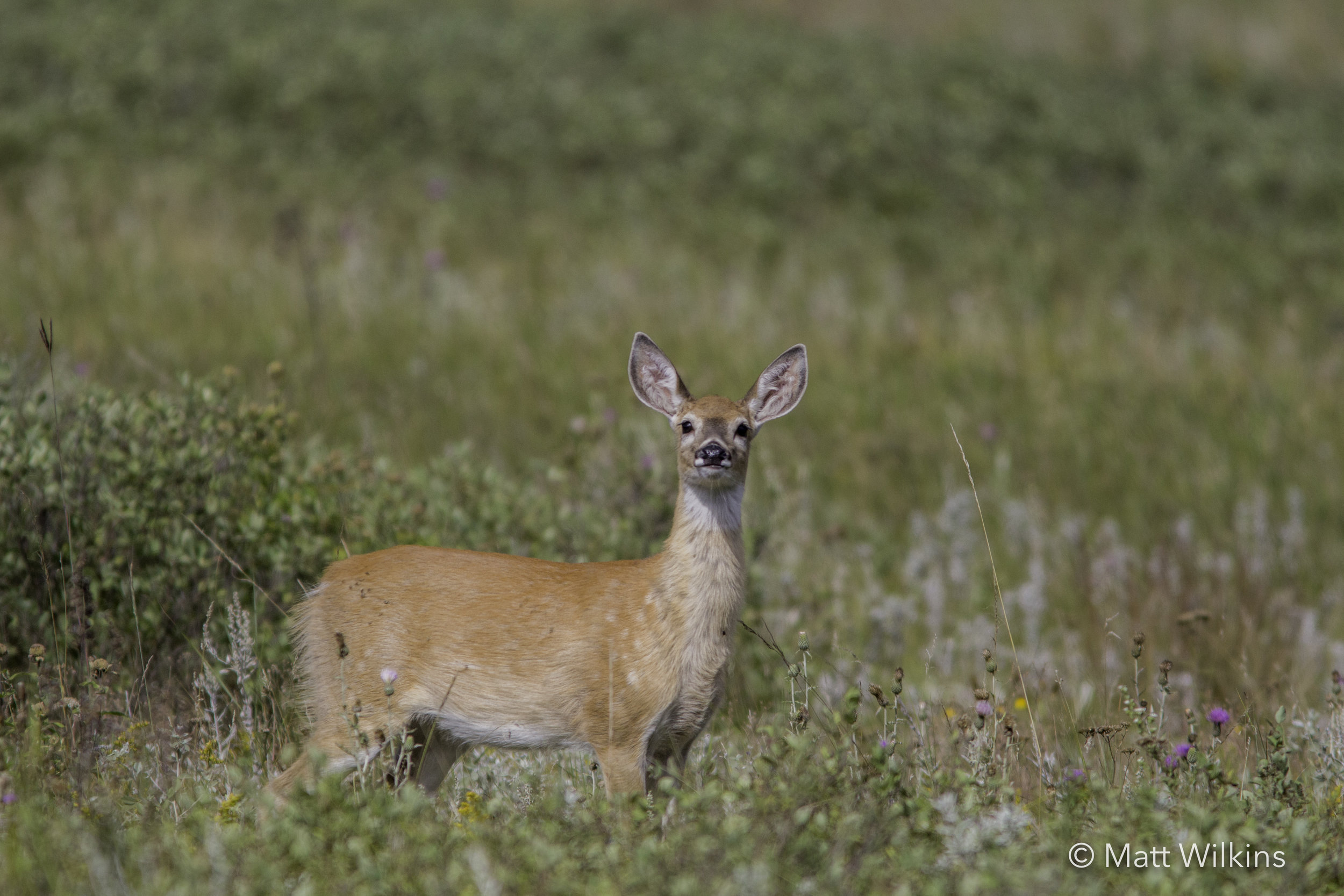 white-tailed-deer-fawn-looking-inquisitive_24738054600_o.jpg
