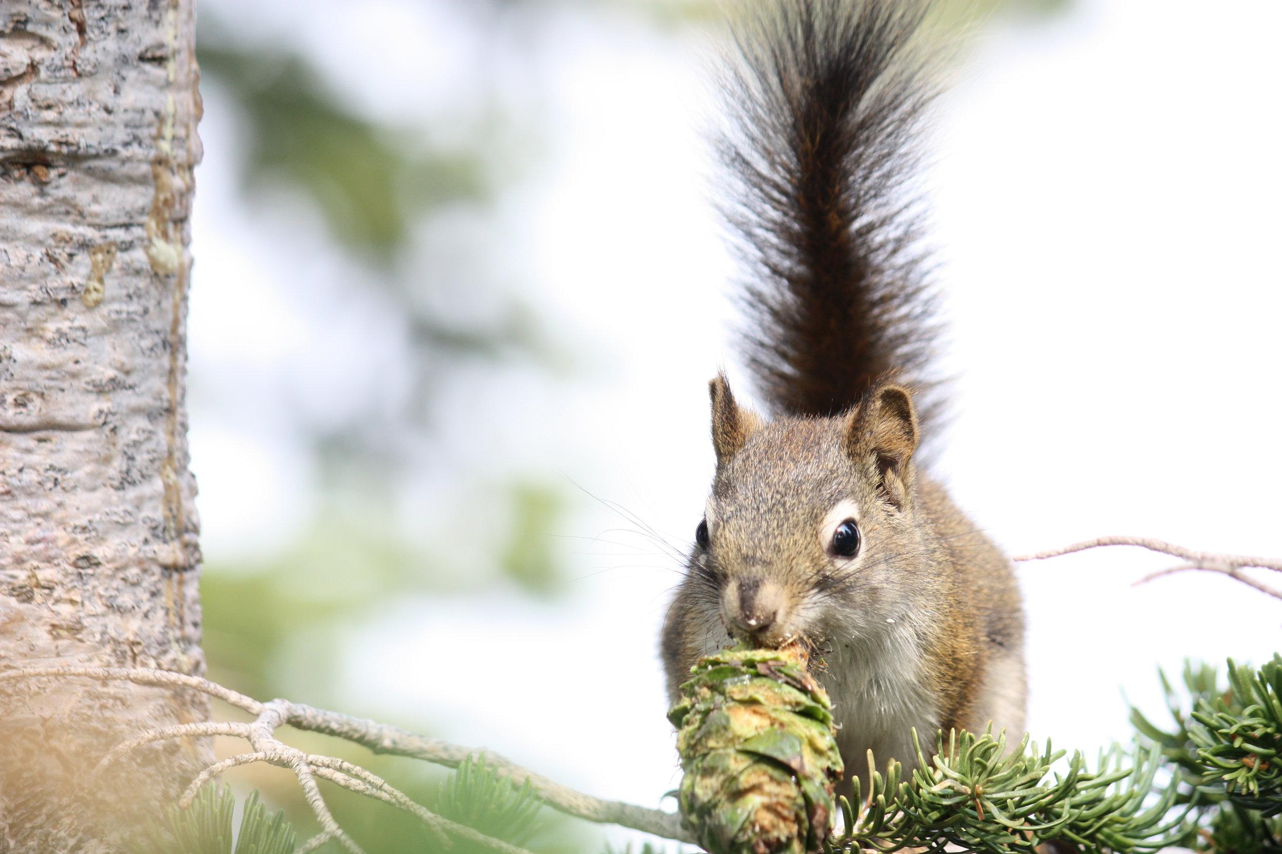 american-red-squirrel-tamiasciurus-hudsonicus_25992376291_o.jpg