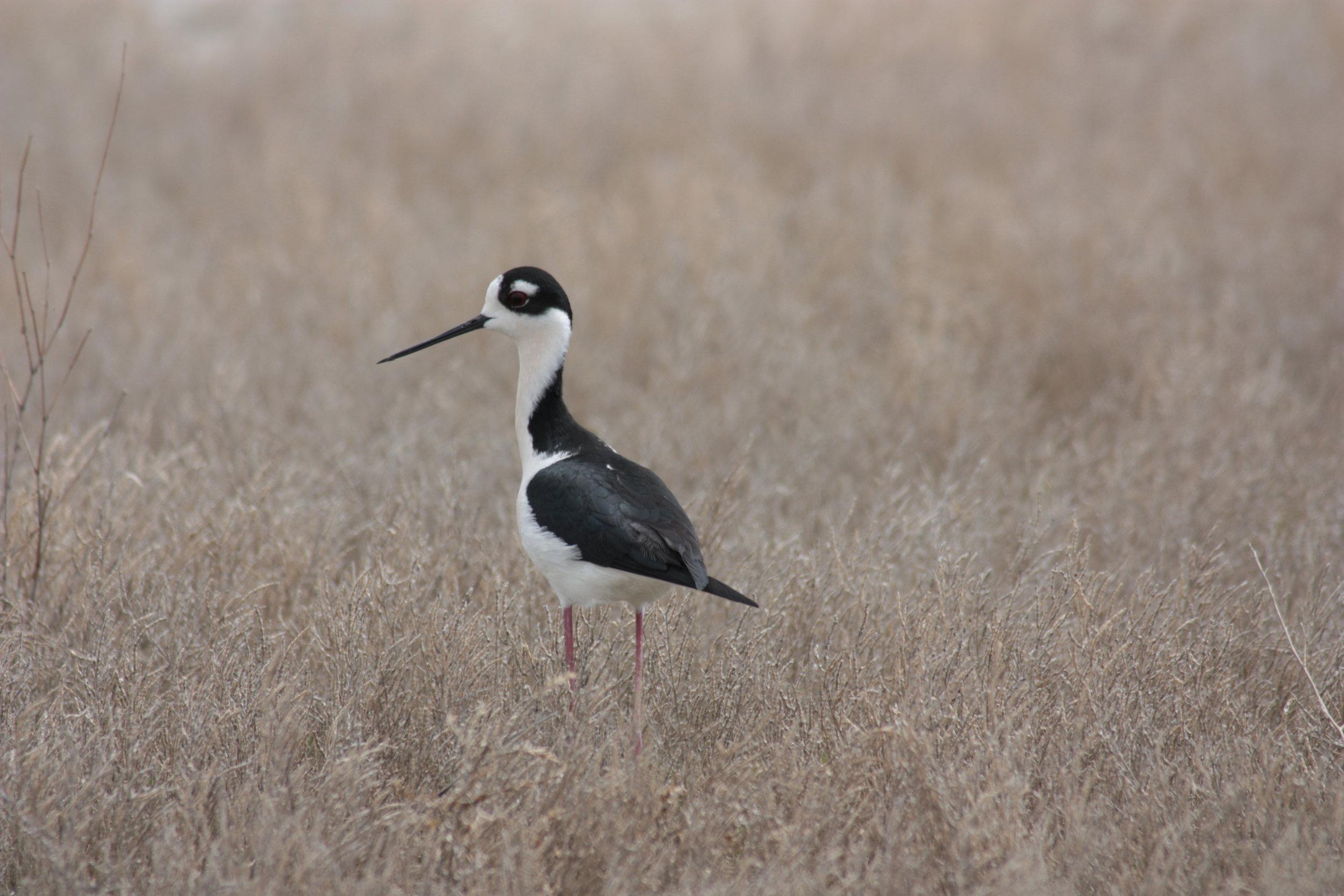 black-necked-stilt-himantopus-mexicanus_25454168814_o.jpg