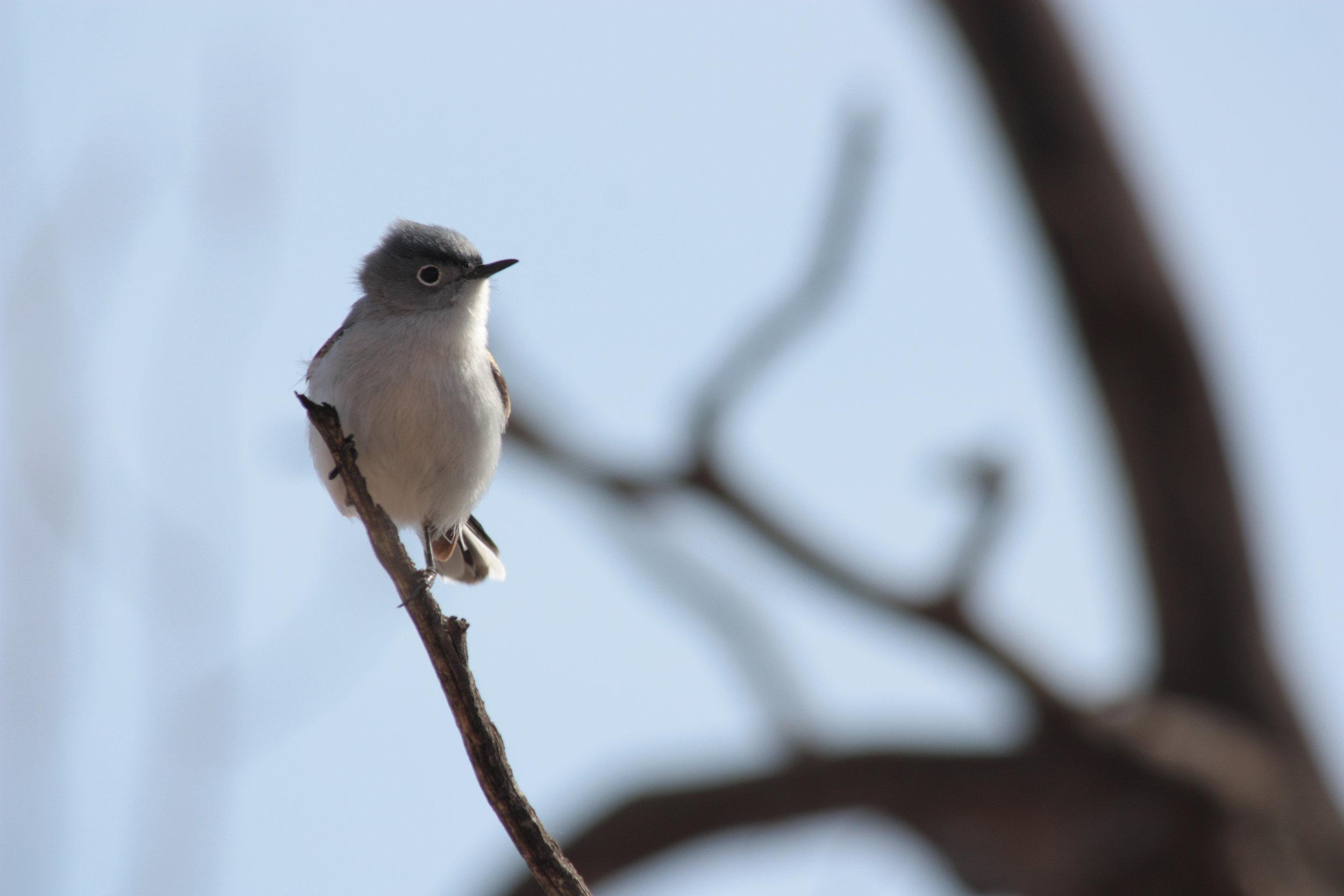 blue-grey-gnatcatcher-polioptila-caerulea_26058880125_o.jpg