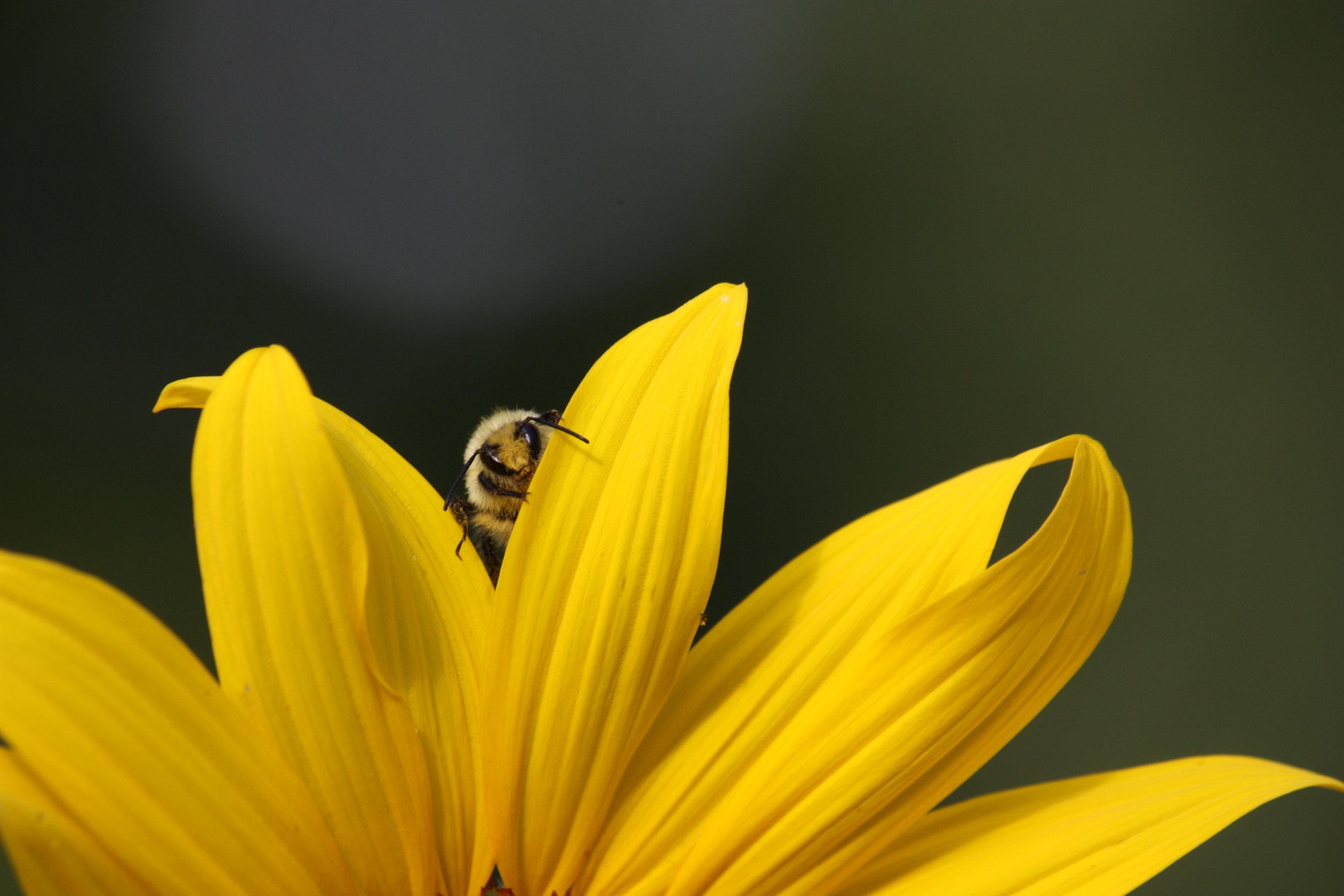 bumblebee-bombus-huntii_25454084894_o.jpg
