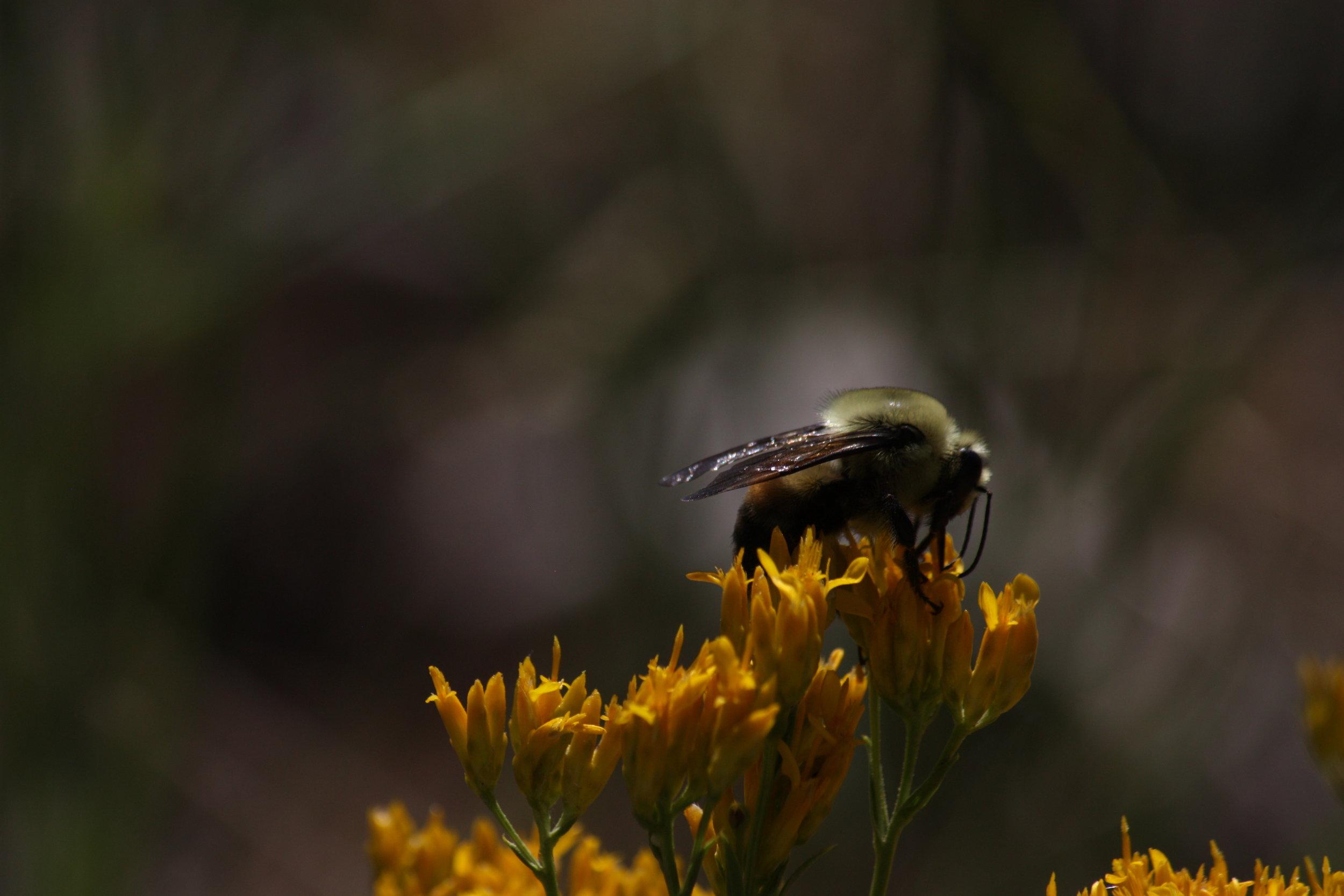bumblebee-bombus-huntii_25454095964_o.jpg