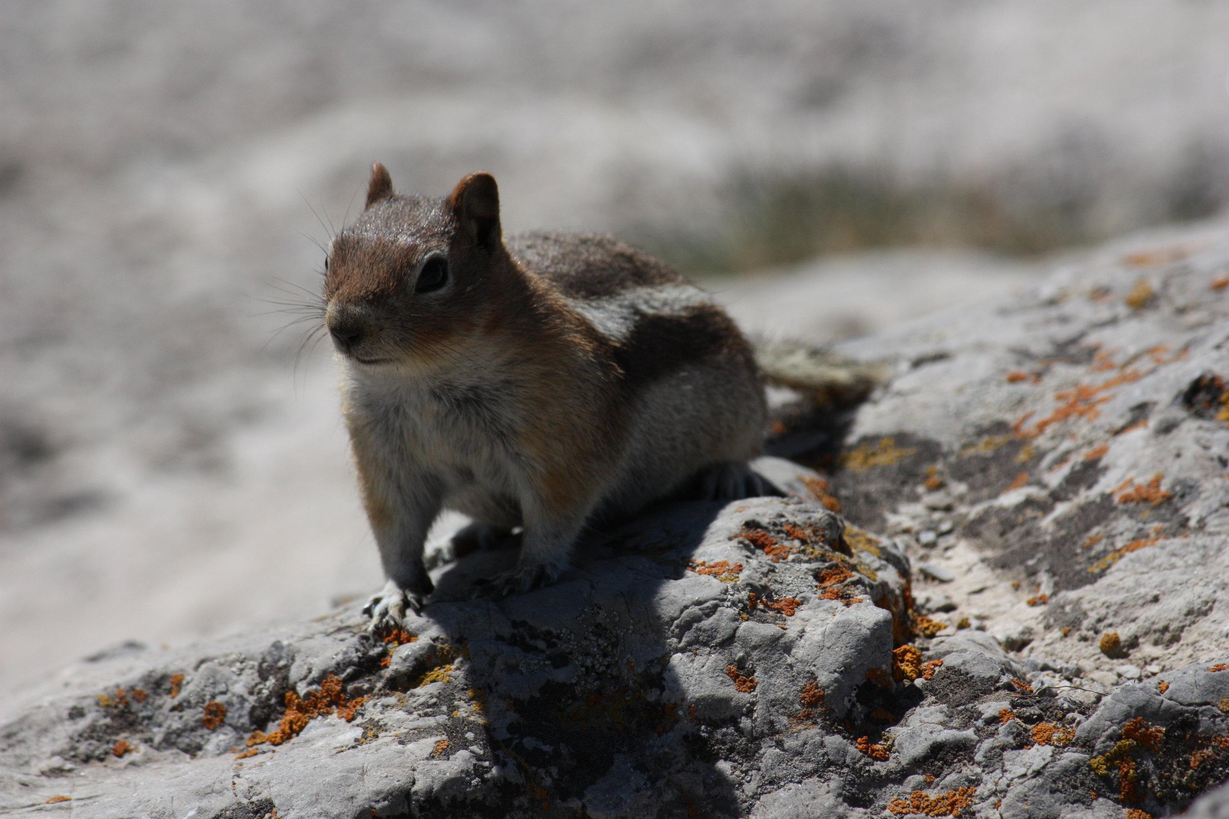 golden-mantled-ground-squirrel-callospermophilus-lateralis_25785926200_o.jpg