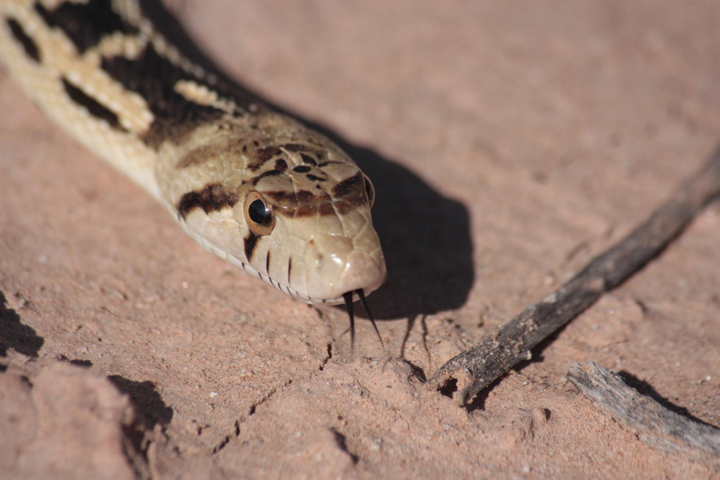 great-basin-gopher-snake-pituophis-catenifer_25454067274_o.jpg