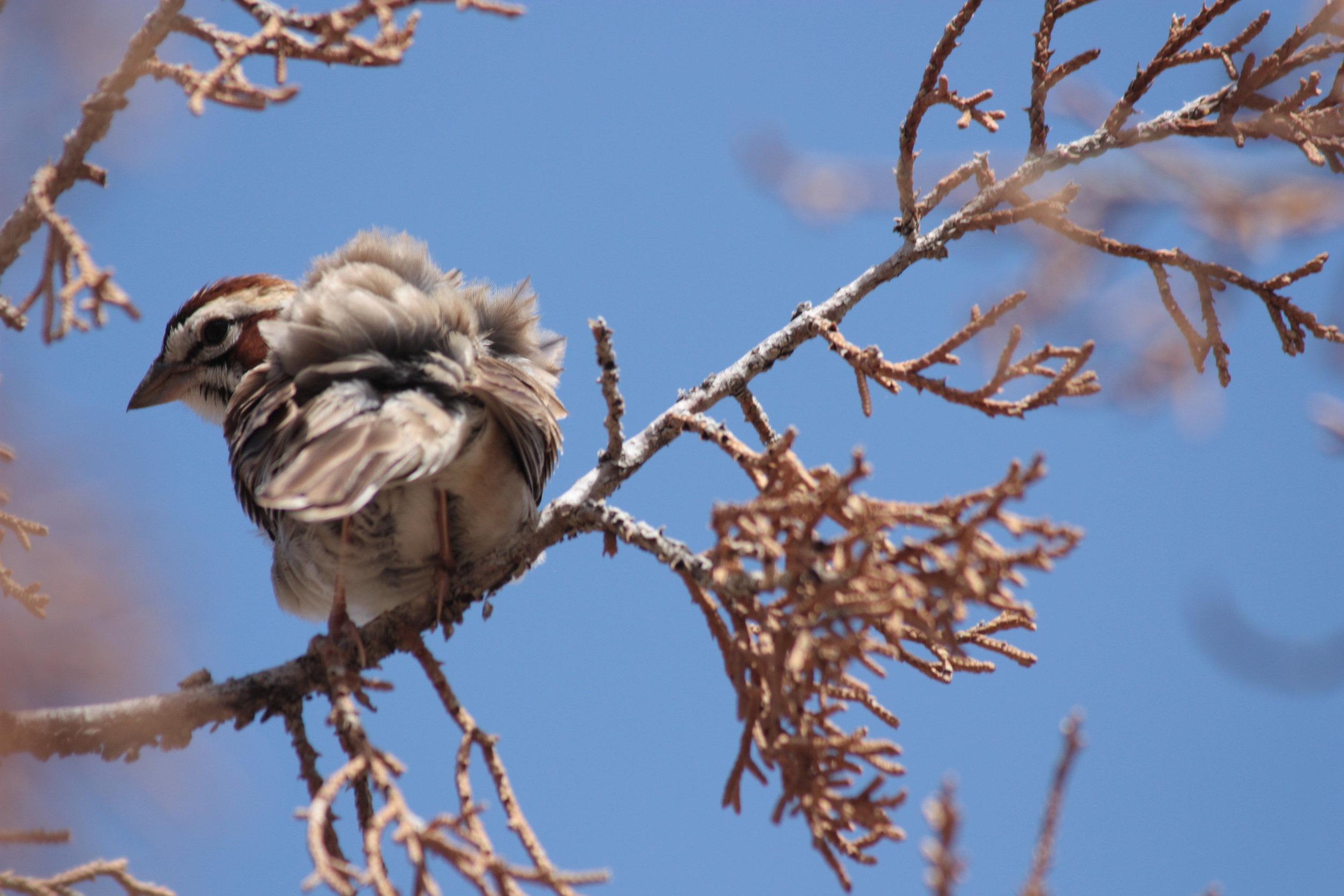 lark-sparrow-chondestes-grammacus_25454061494_o.jpg