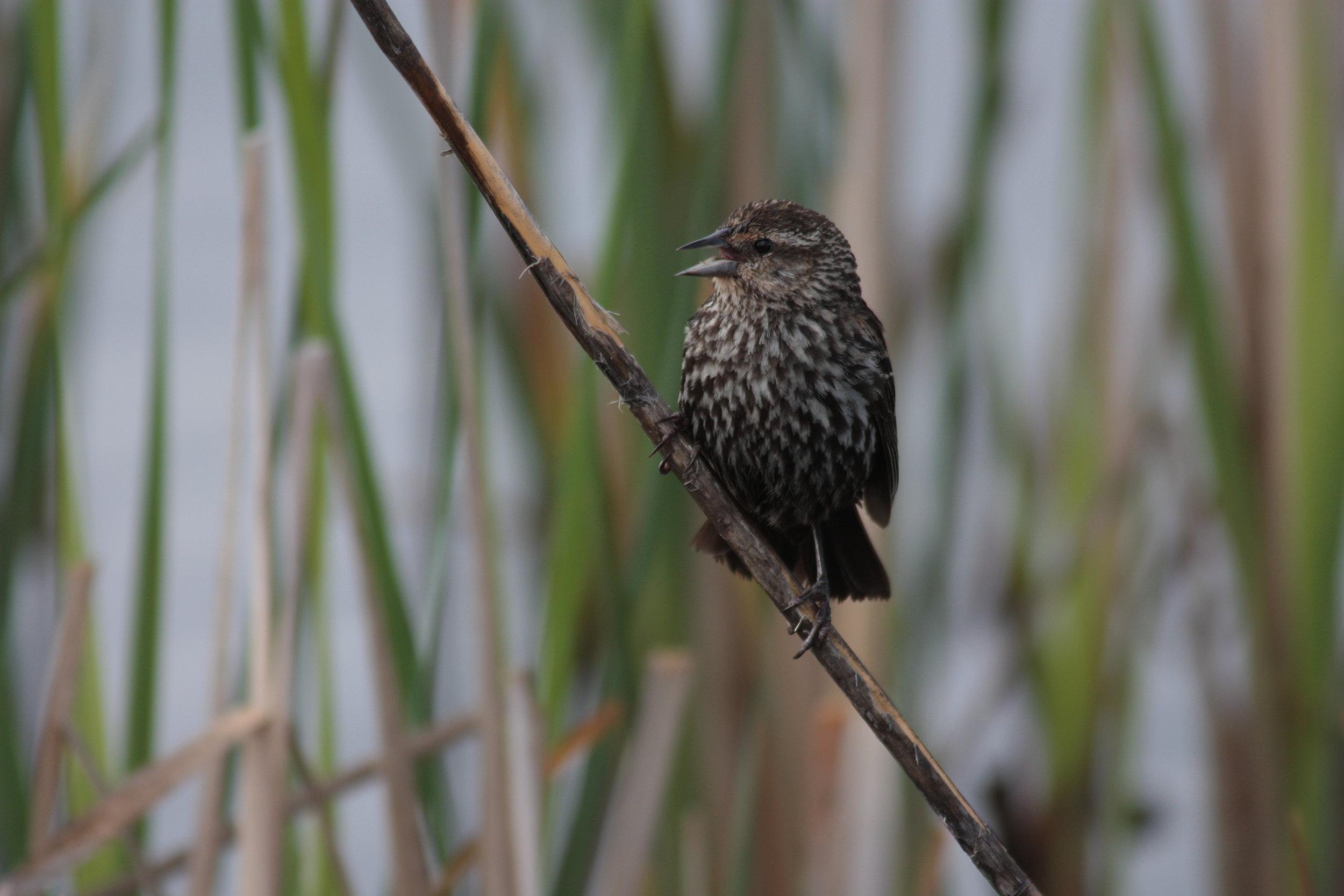 red-winged-blackbird-agelaius-phoeniceus_25966277122_o.jpg