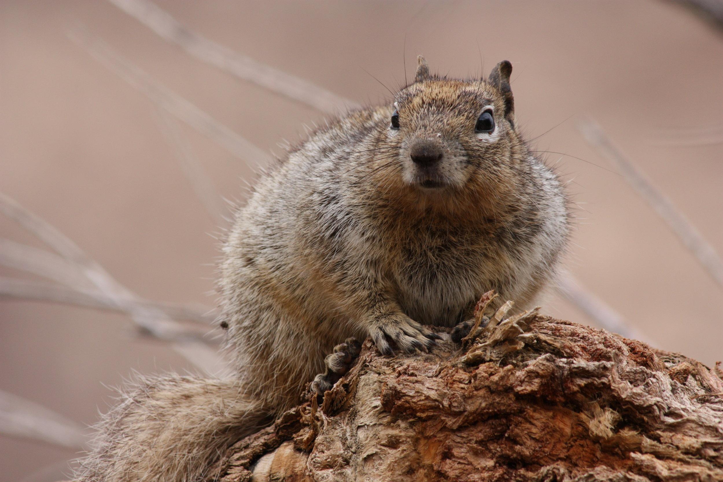 rock-squirrel-otospermophilus-variegatus_25453871864_o.jpg