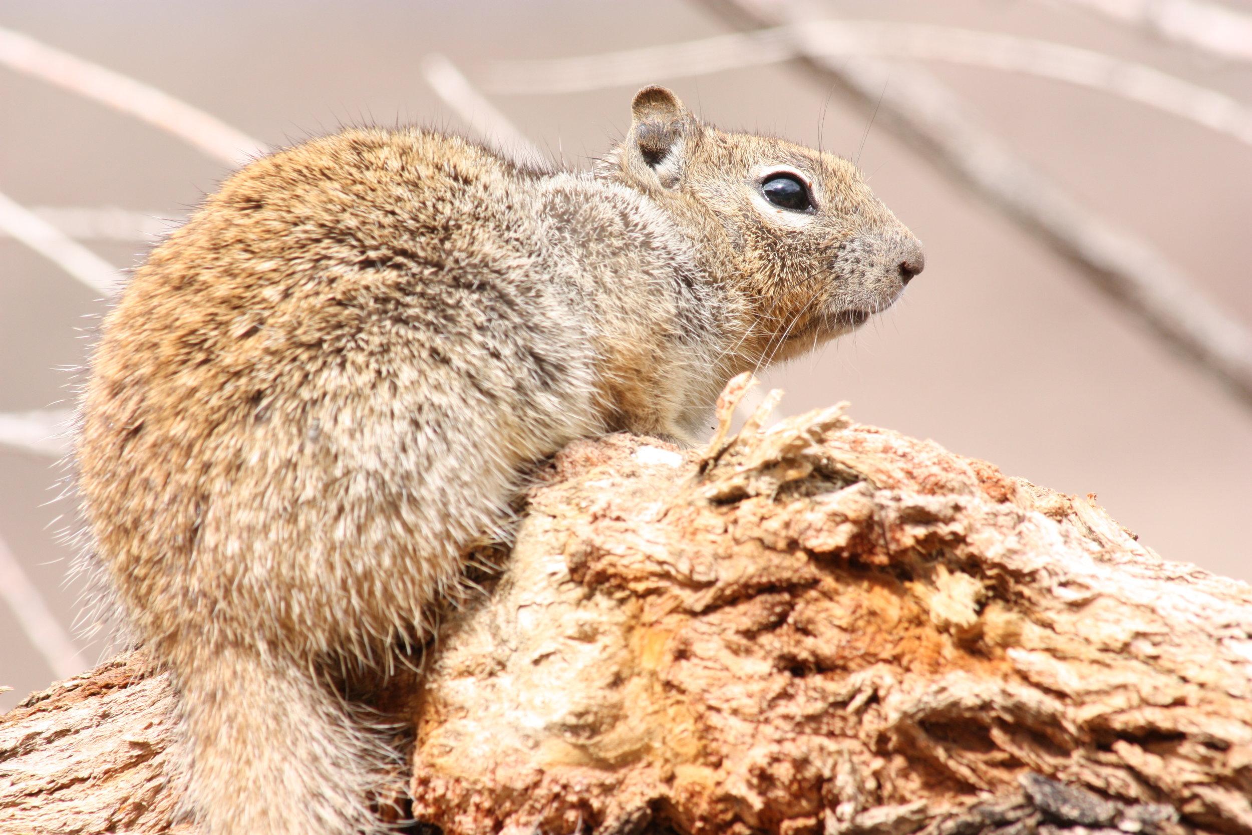 rock-squirrel-otospermophilus-variegatus_25453880044_o.jpg