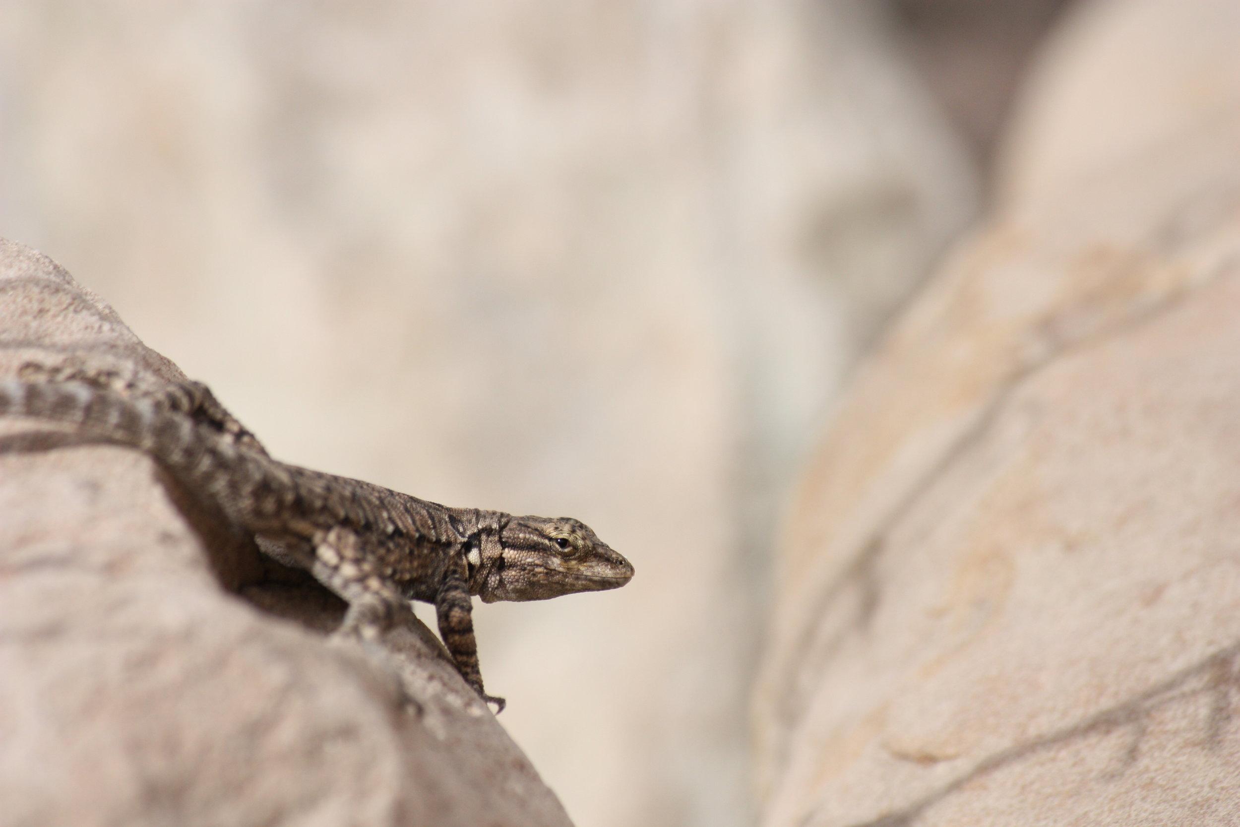 tree-lizard-urosaurus-ornatus_26058509545_o.jpg