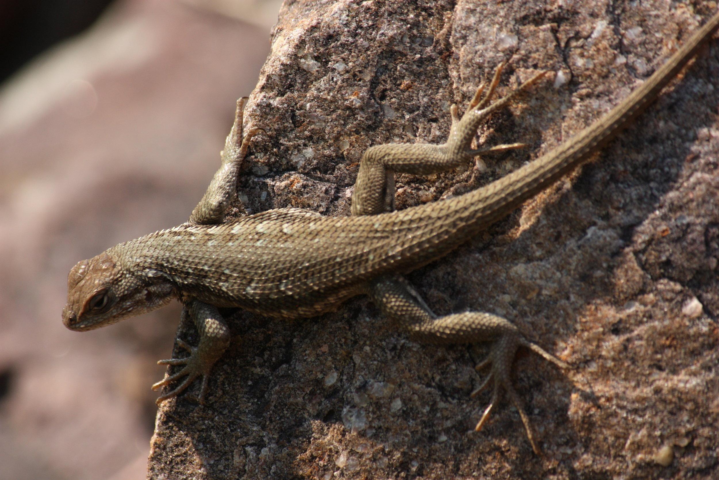 western-fence-lizard-sceloporus-occidentalis_25992385081_o.jpg