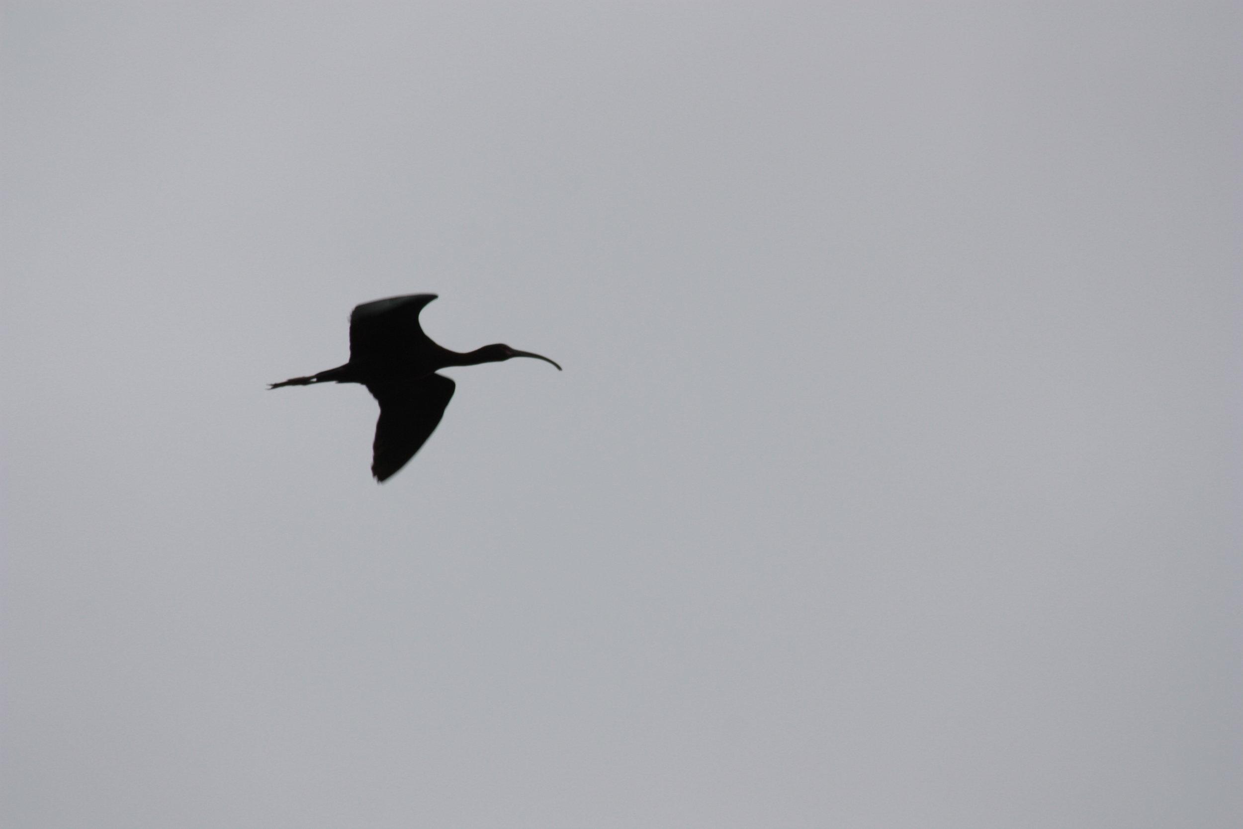 white-faced-ibis-plegadis-chihi_25785958430_o.jpg