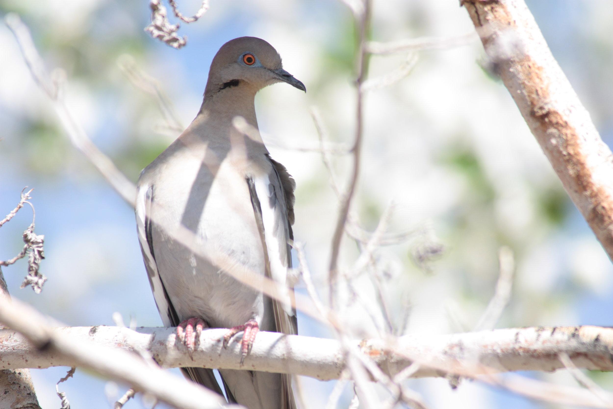 white-winged-dove-zenaida-asiatica_25454100854_o.jpg